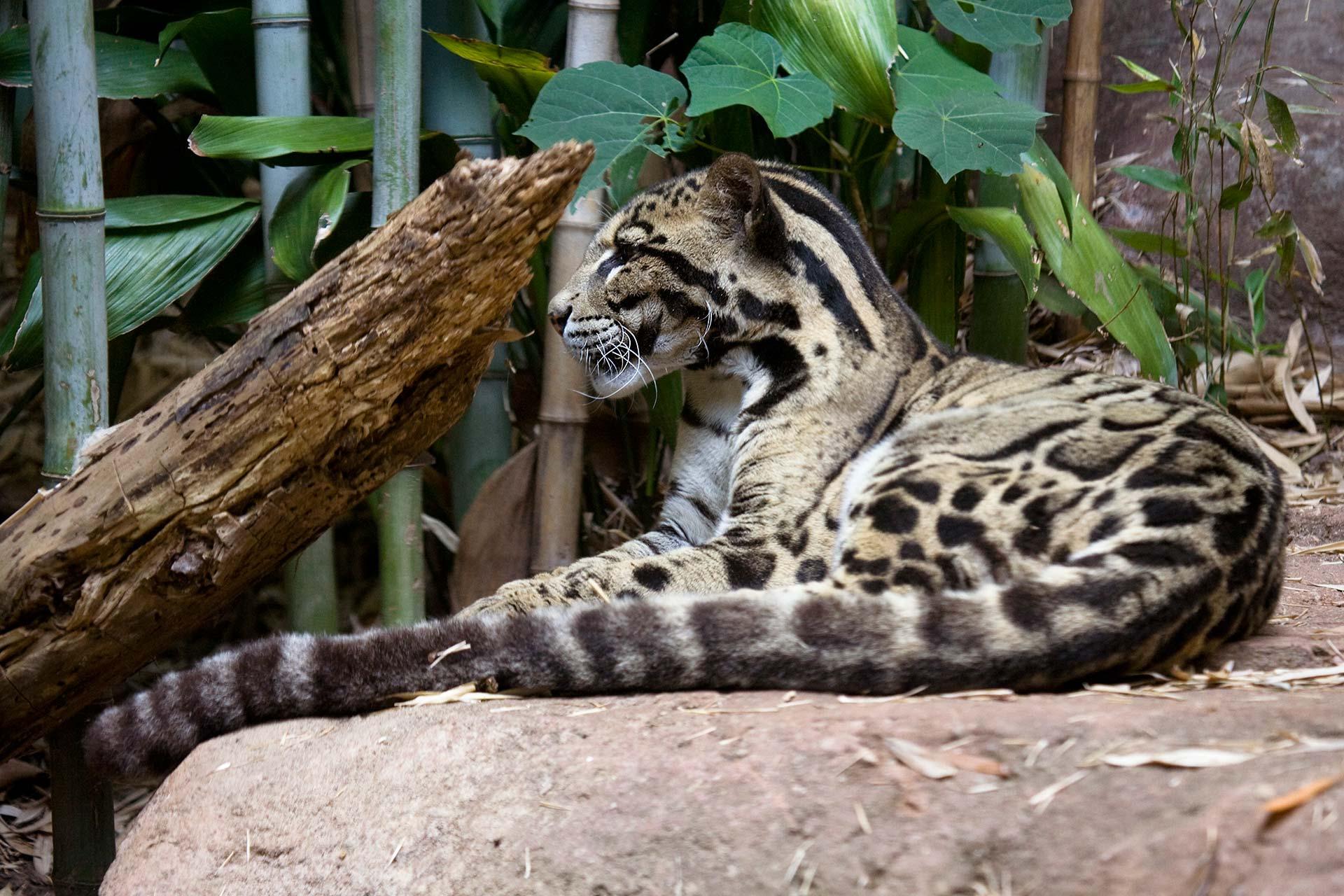Baby clouded leopard wallpaper