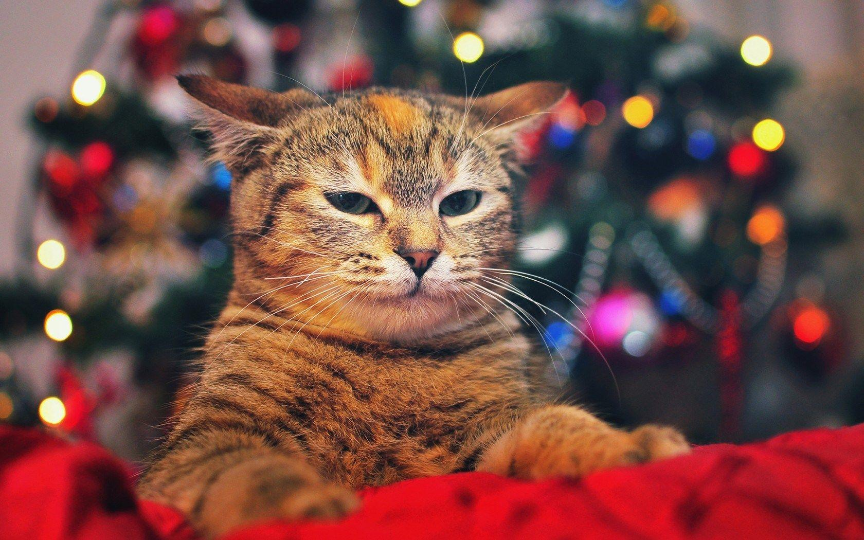 Christmas Cats Wallpapers - Wallpaper Cave