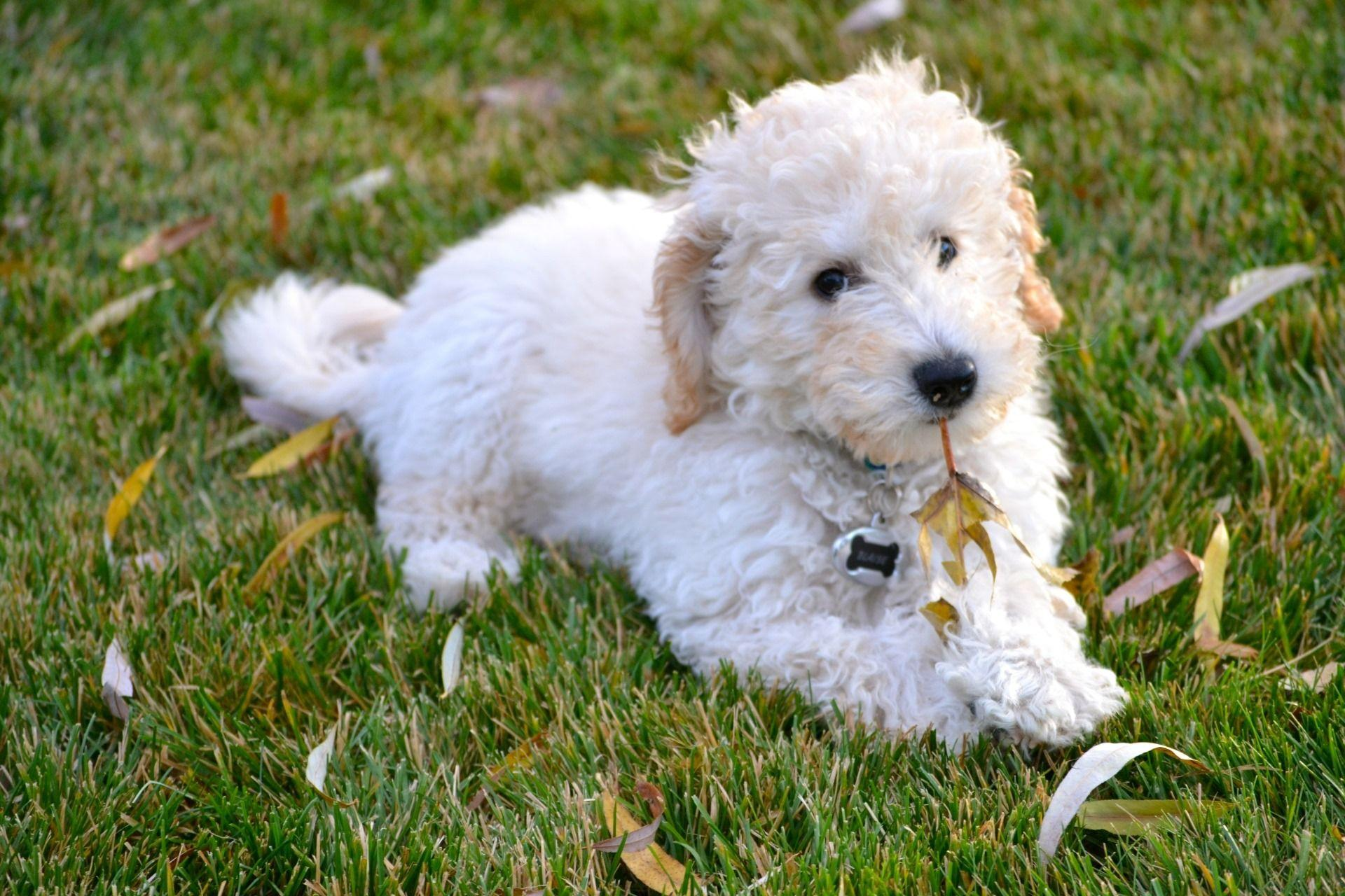 labradoodle labrador retriever and poodle mix - HD 1920×1280