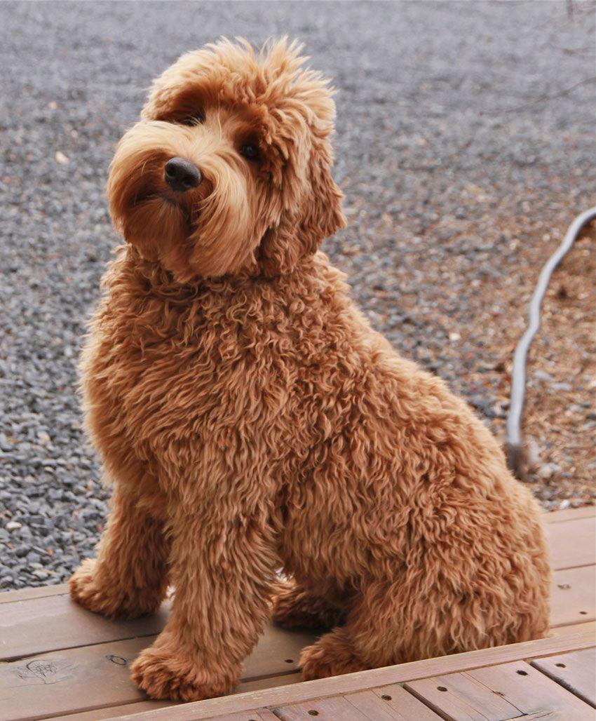 labradoodle labrador retriever and poodle mix - HD850×1028