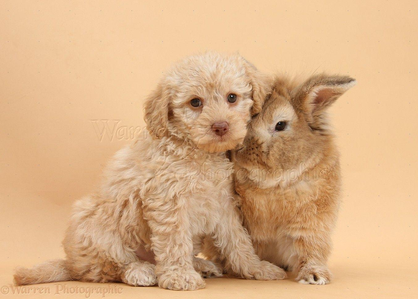 Labradoodle Wallpapers - Wallpaper Cave