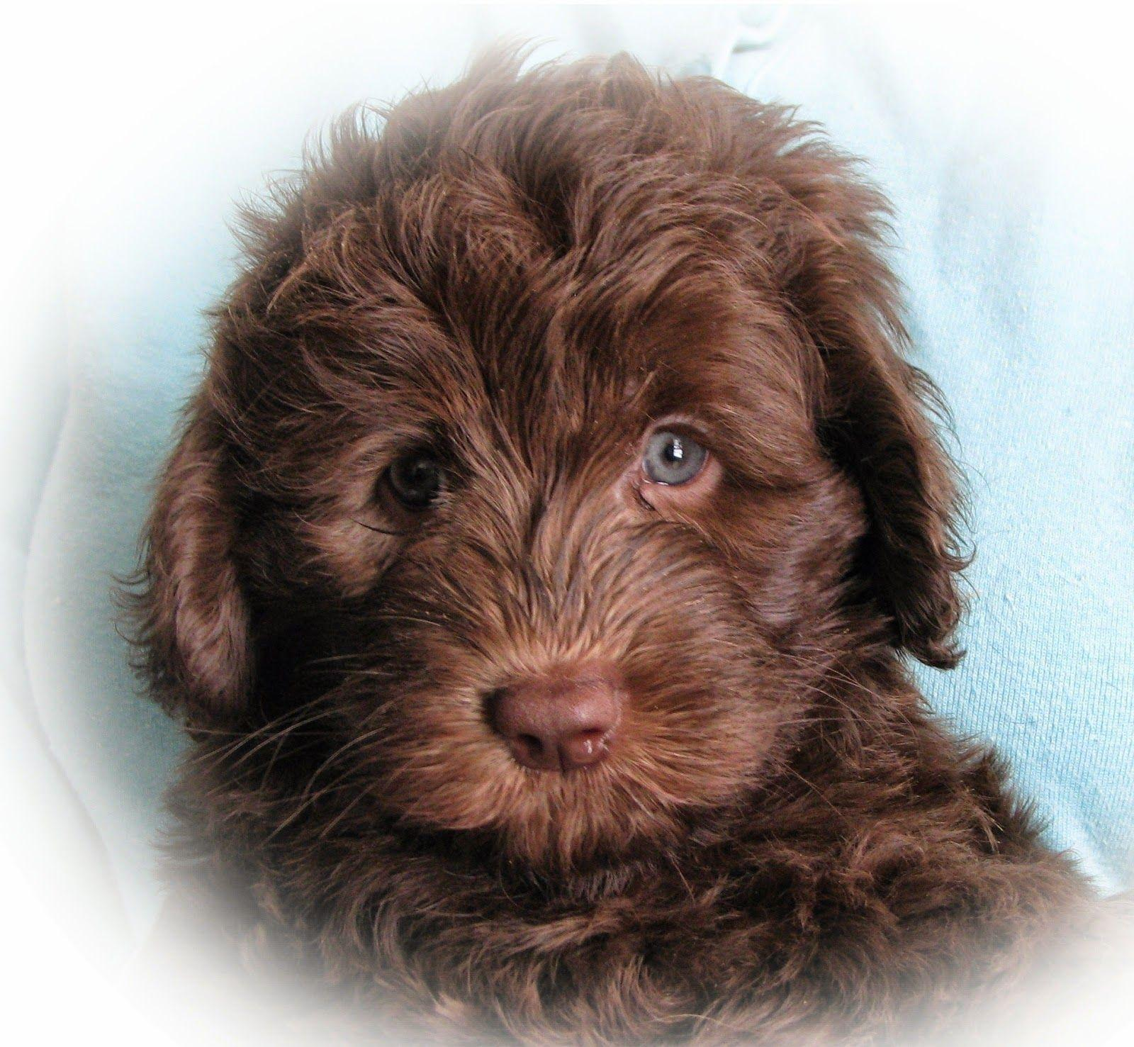Labradoodle Wallpapers