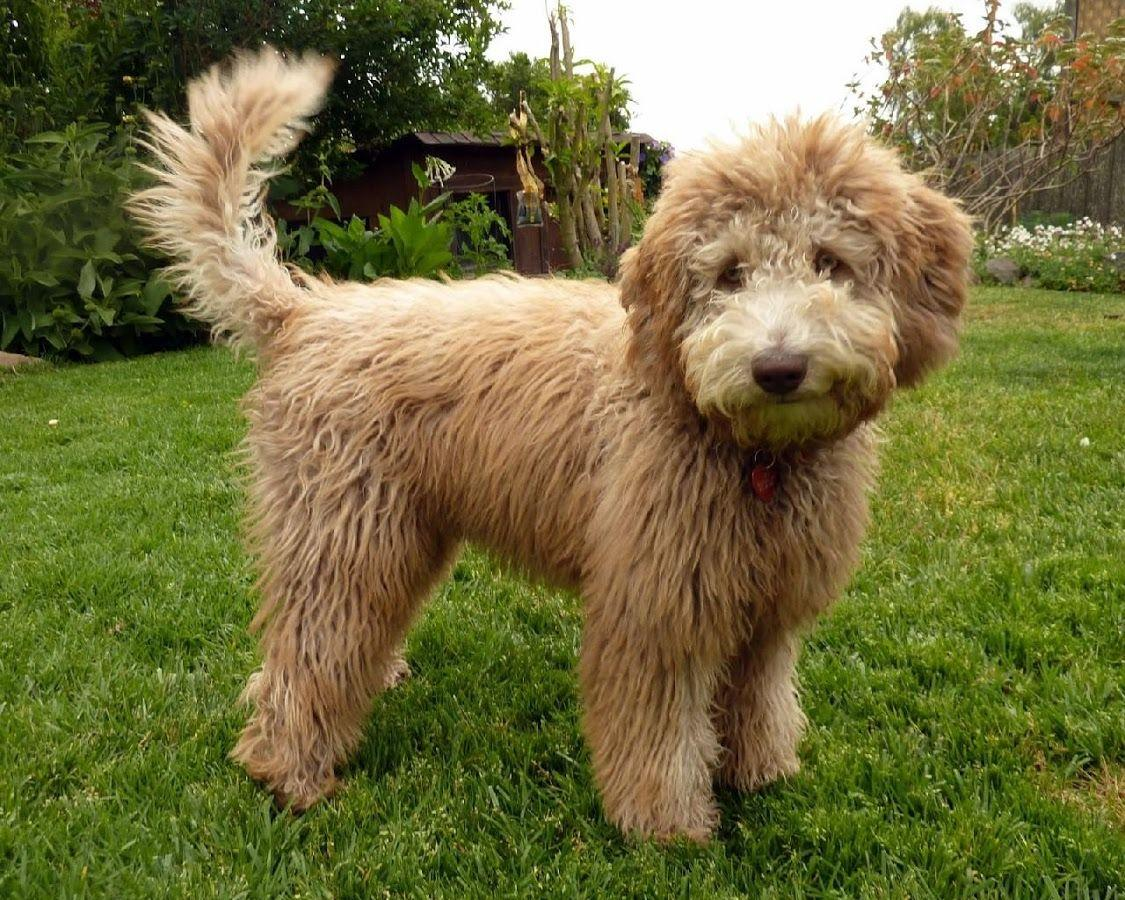 shaved-labradoodle-picture-ebony