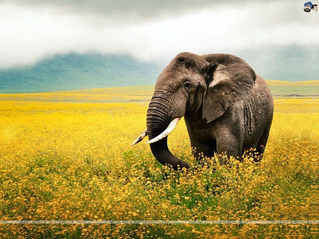 Indian Elephant Wallpapers Wallpaper Cave