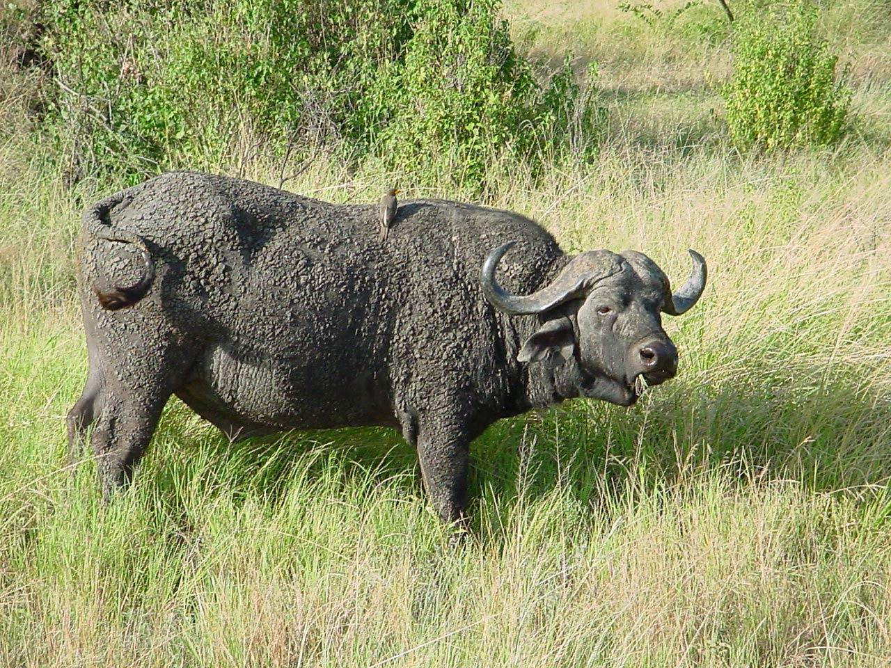 Water Buffalo Wallpapers