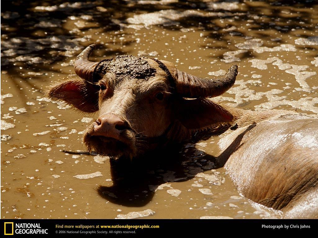 Water Buffalo Wallpapers and Backgrounds