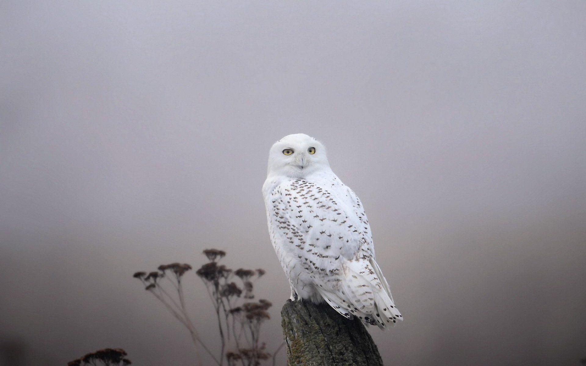 Snowy Owl Full HD Wallpaper and Background | 1920x1200 | ID:453731