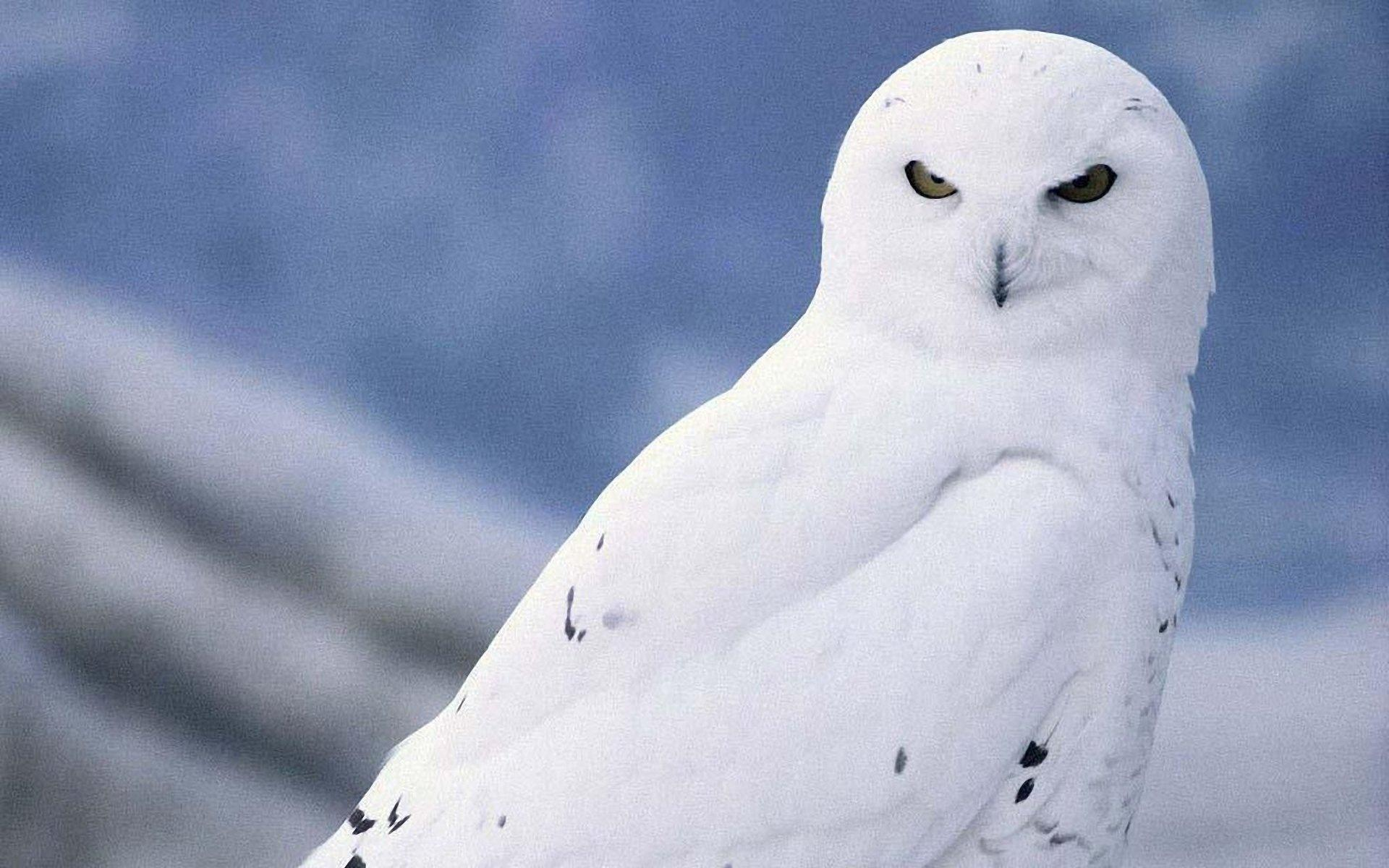 Snowy Owl Wallpaper #6933230