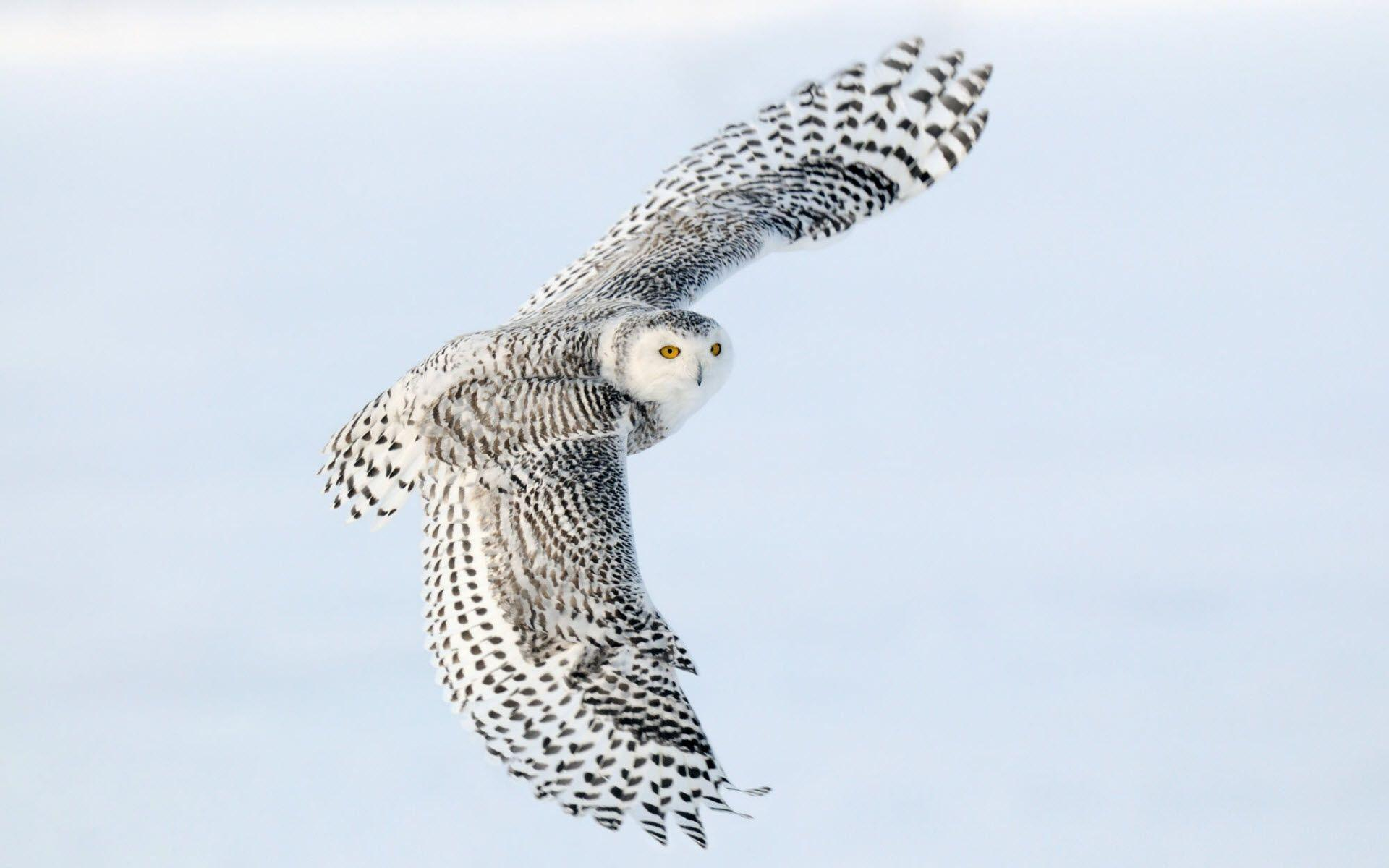 Snowy Owl Wallpapers | HD Wallpapers