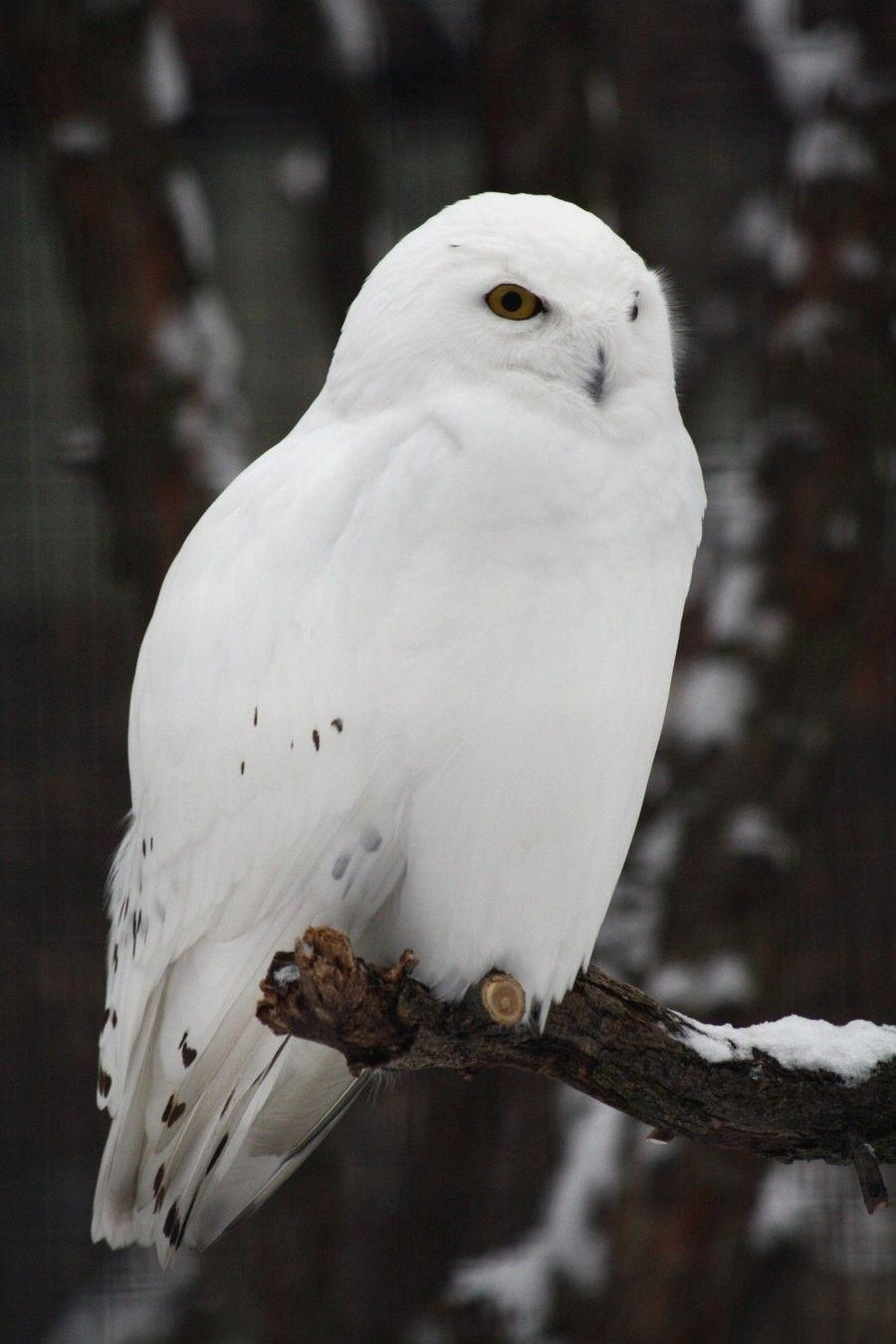 Snowy Owl Wallpapers HD Download