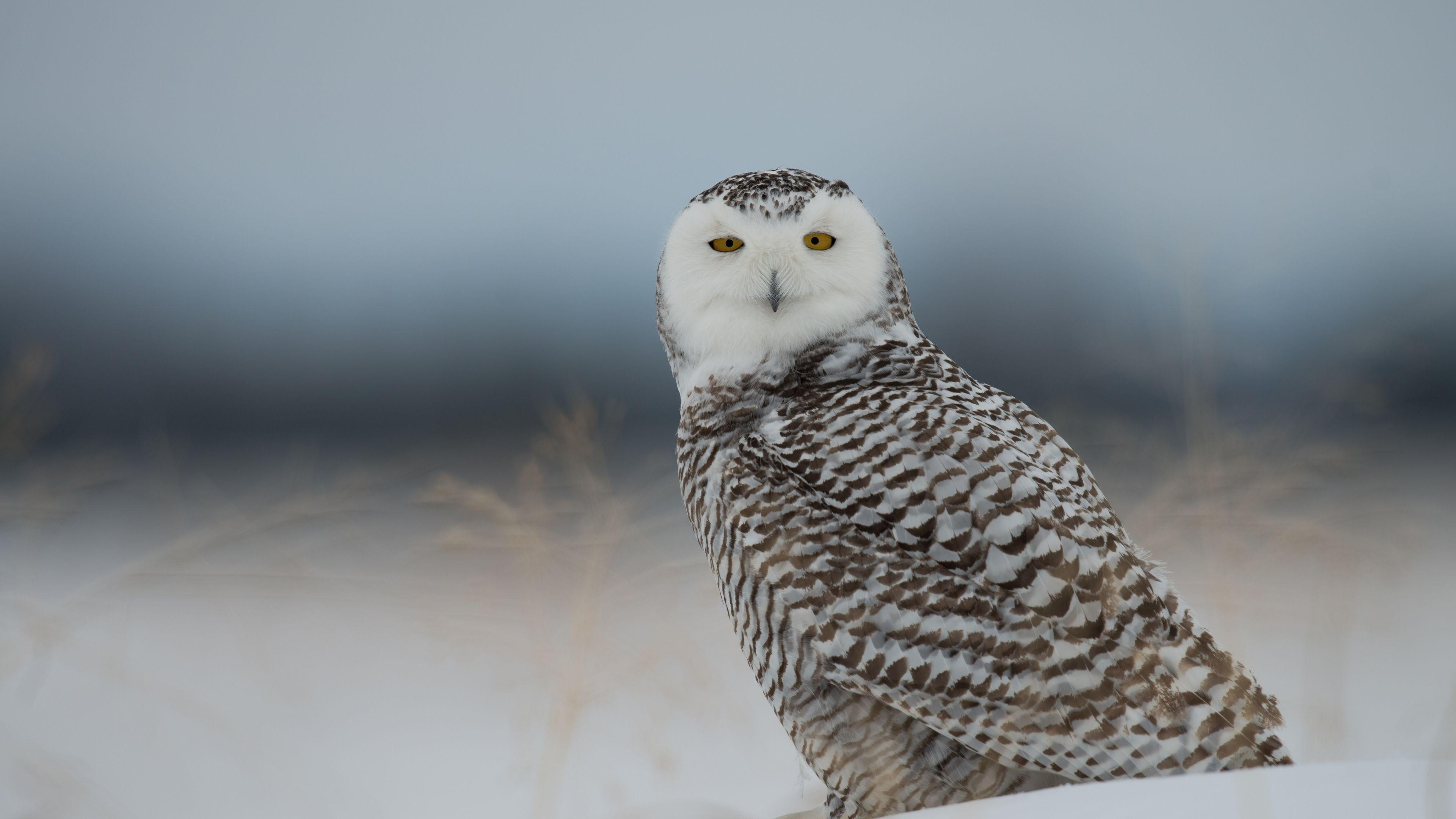 Download Wallpaper 3840x2160 Snowy owl, Owl, Predator, Bird, Snow ...