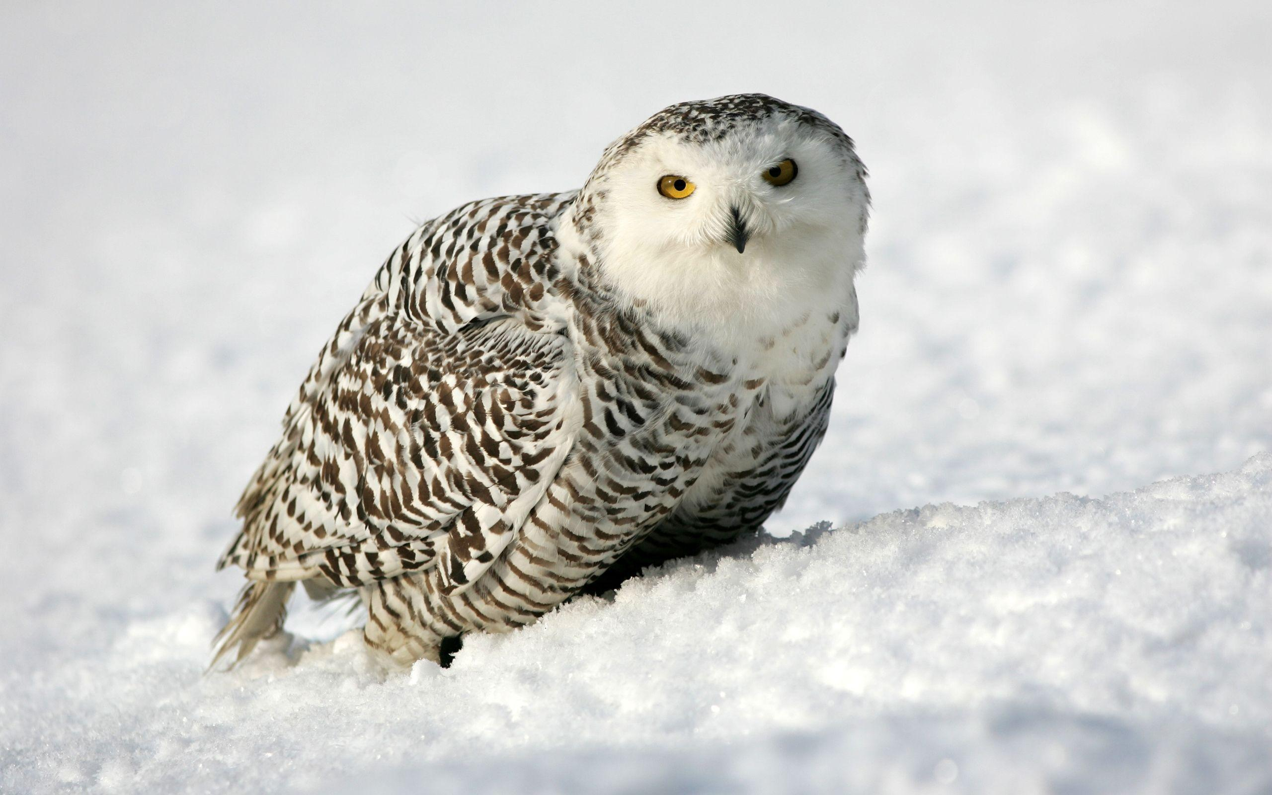 Snowy Owl Full HD Wallpaper and Background | 2560x1600 | ID:342895