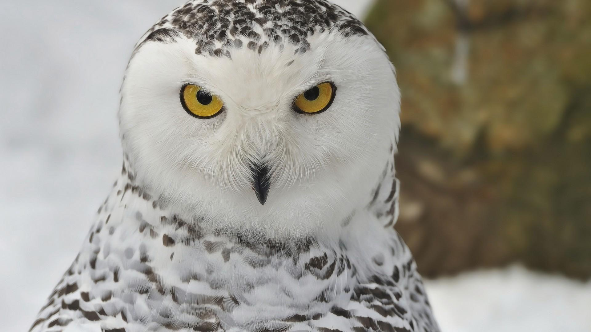 Snowy Owl Wallpaper 20437 - Baltana
