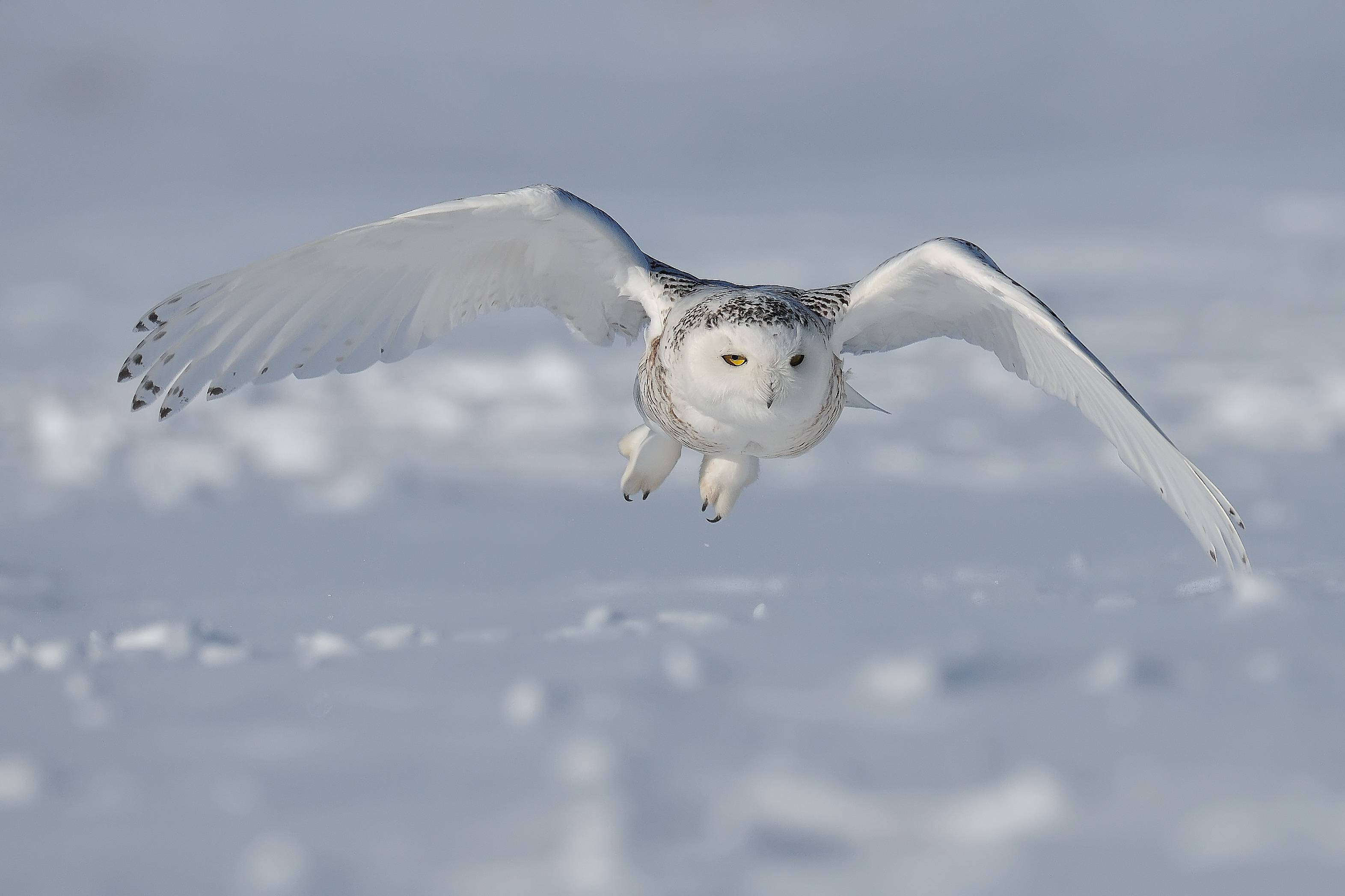Snowy Owl HD Background Wallpaper 20429 - Baltana