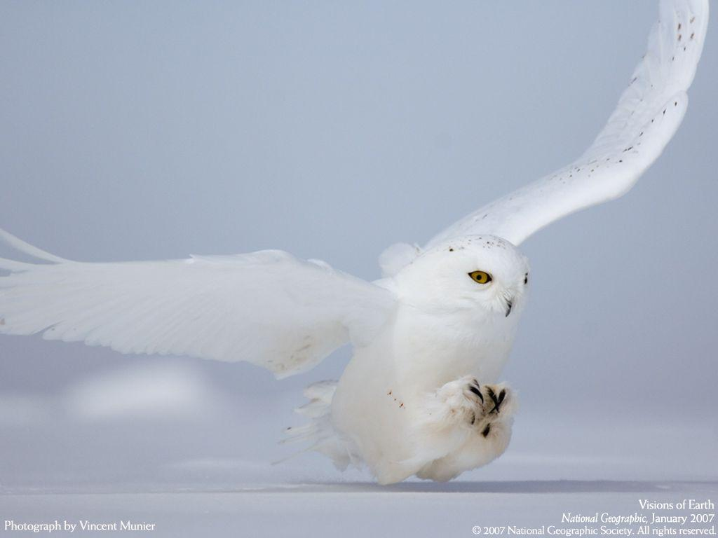 Image - Snowy Owl Hunting Wallpaper 3ynw1.jpg | LEGO Message ...