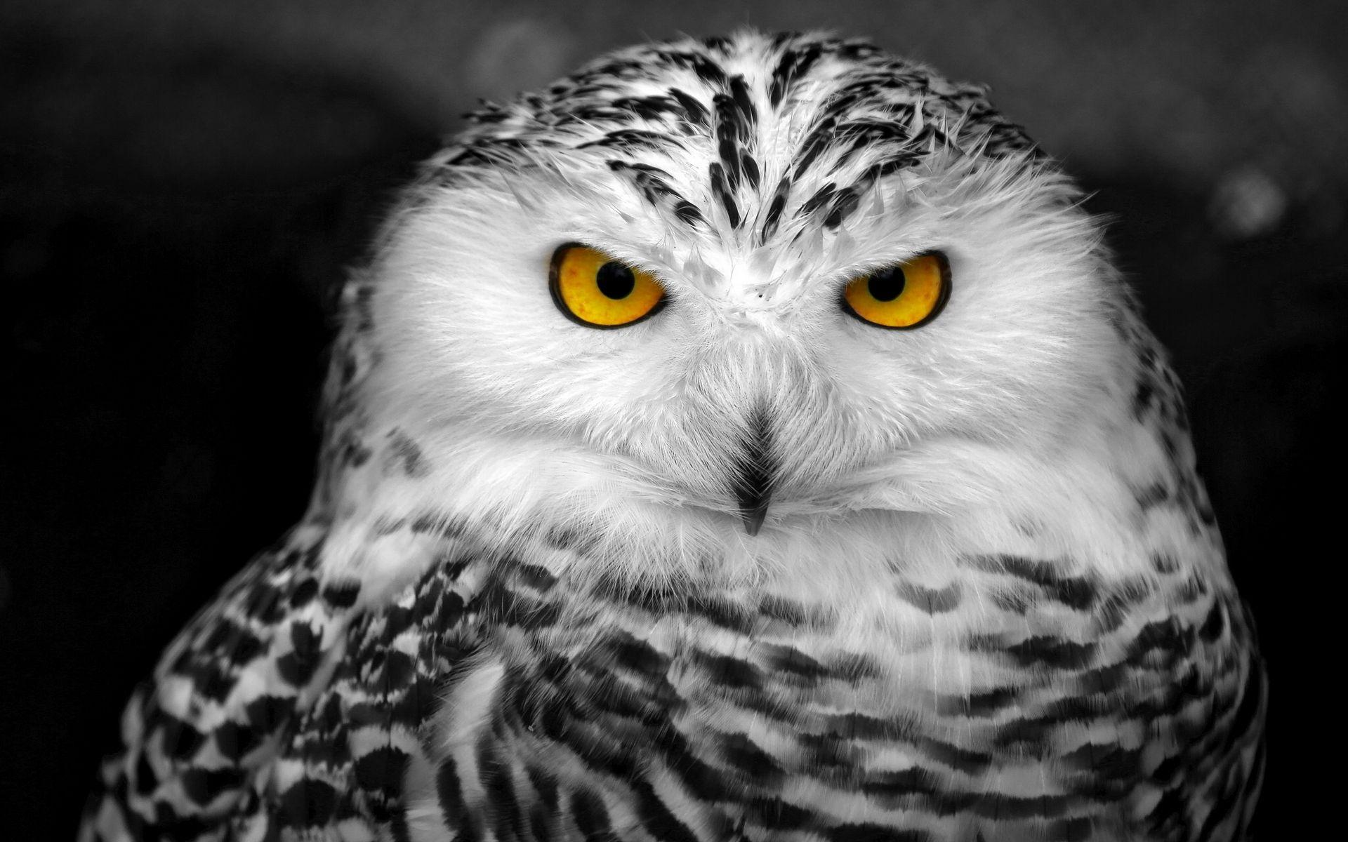 Snowy Owl wallpaper | 1920x1200 | #59095