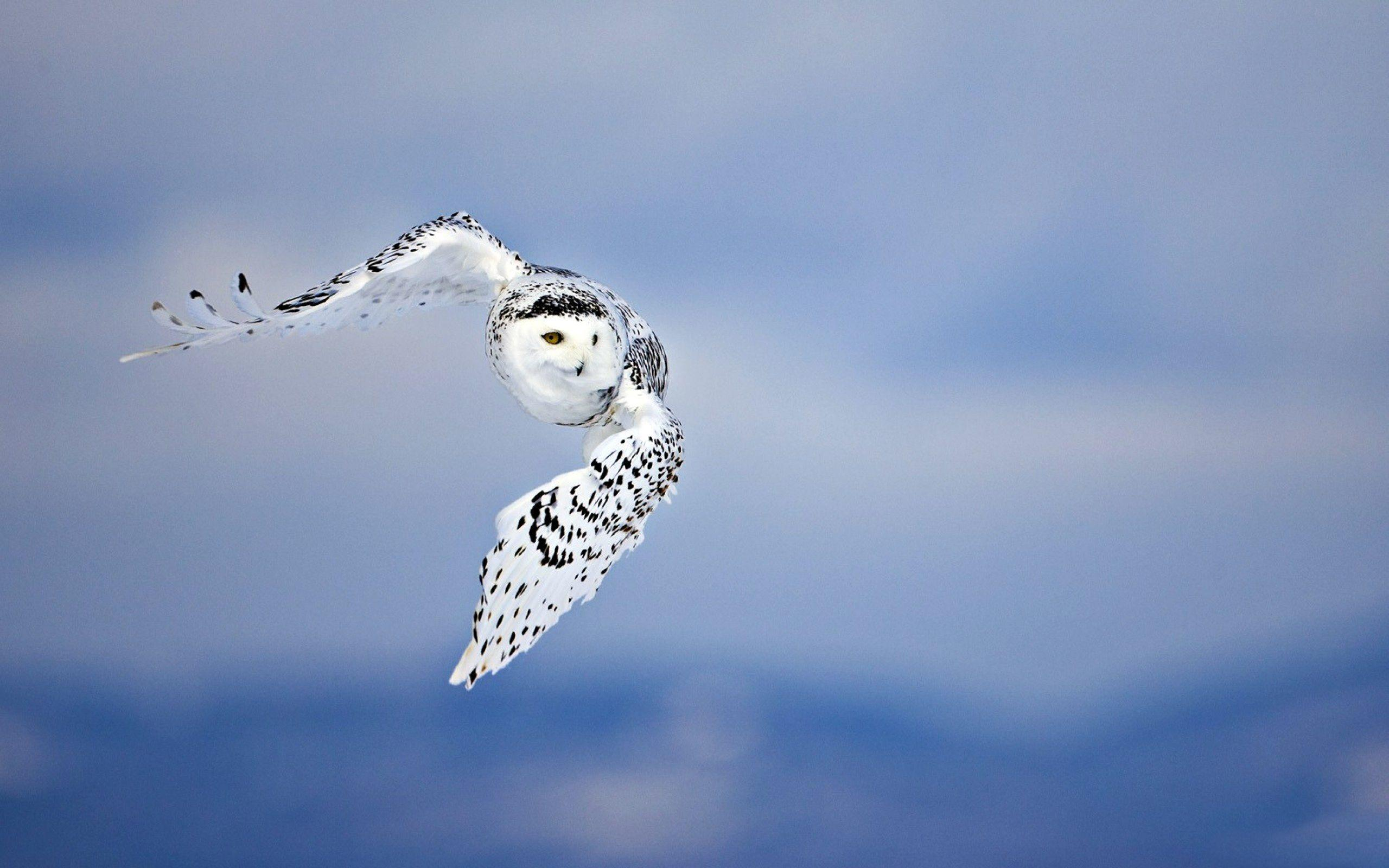 Owl Full HD Wallpaper and Background | 2560x1600 | ID:326123