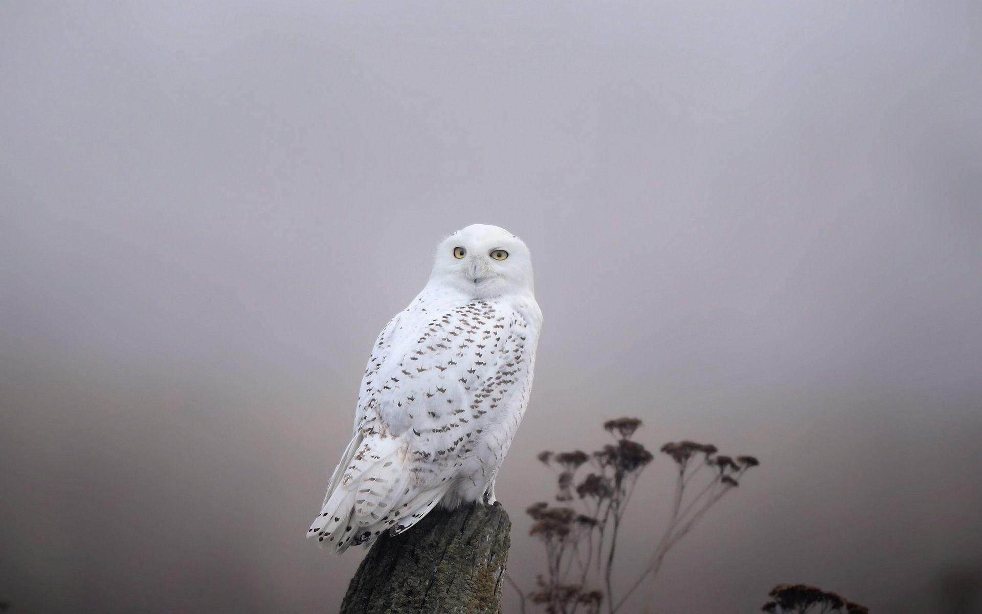 Snowy Owl Wallpaper #38026