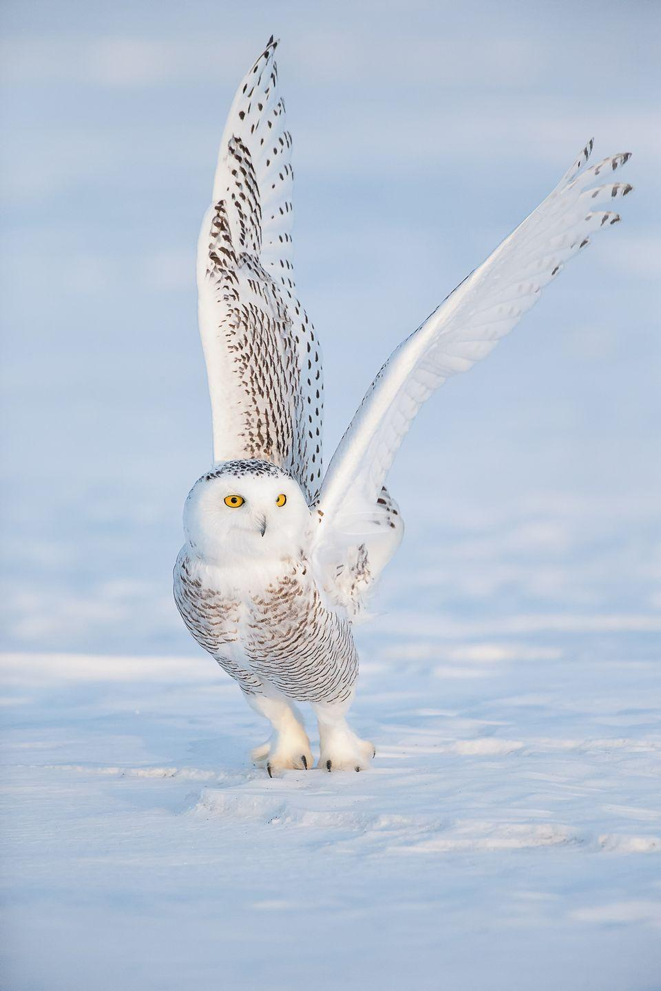 Animal Snowy Owl wallpapers (Desktop, Phone, Tablet) - Awesome ...