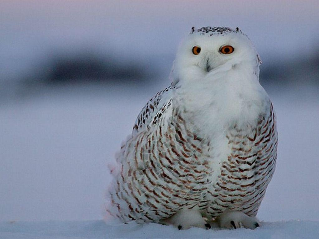 Owl HD Wallpapers Desktop Pictures – One HD Wallpaper Pictures ...