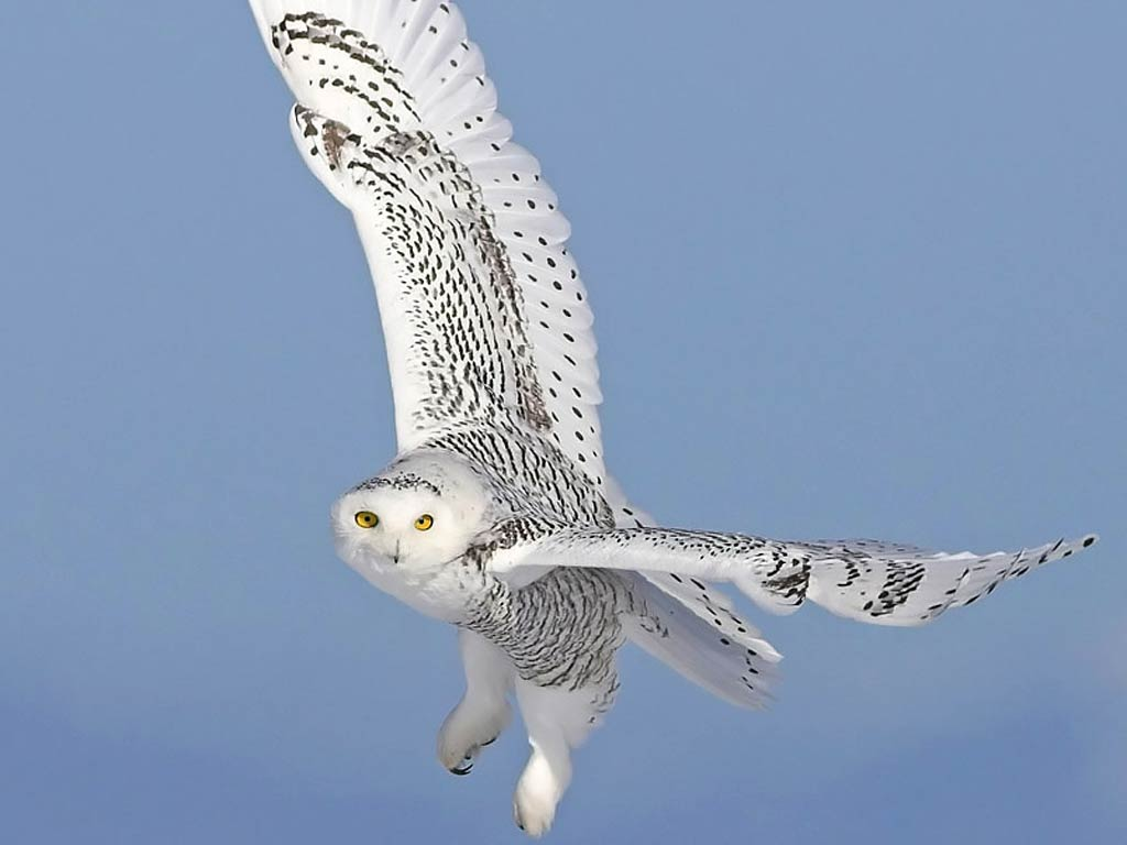 Snowy Owl Wallpaper and Screensavers - WallpaperSafari