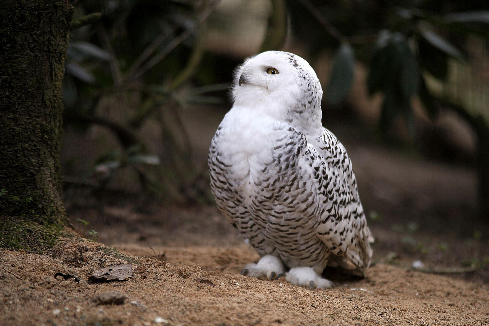 Snowy Owl Beautiful HD Beautiful Pictures - All HD Wallpapers