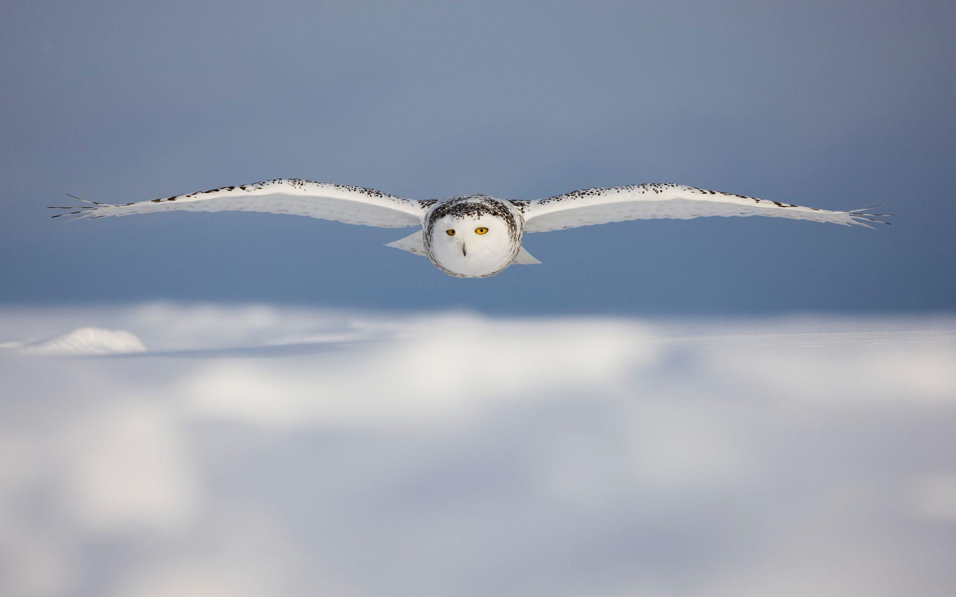 Snowy Owl Wallpaper Background | 2951