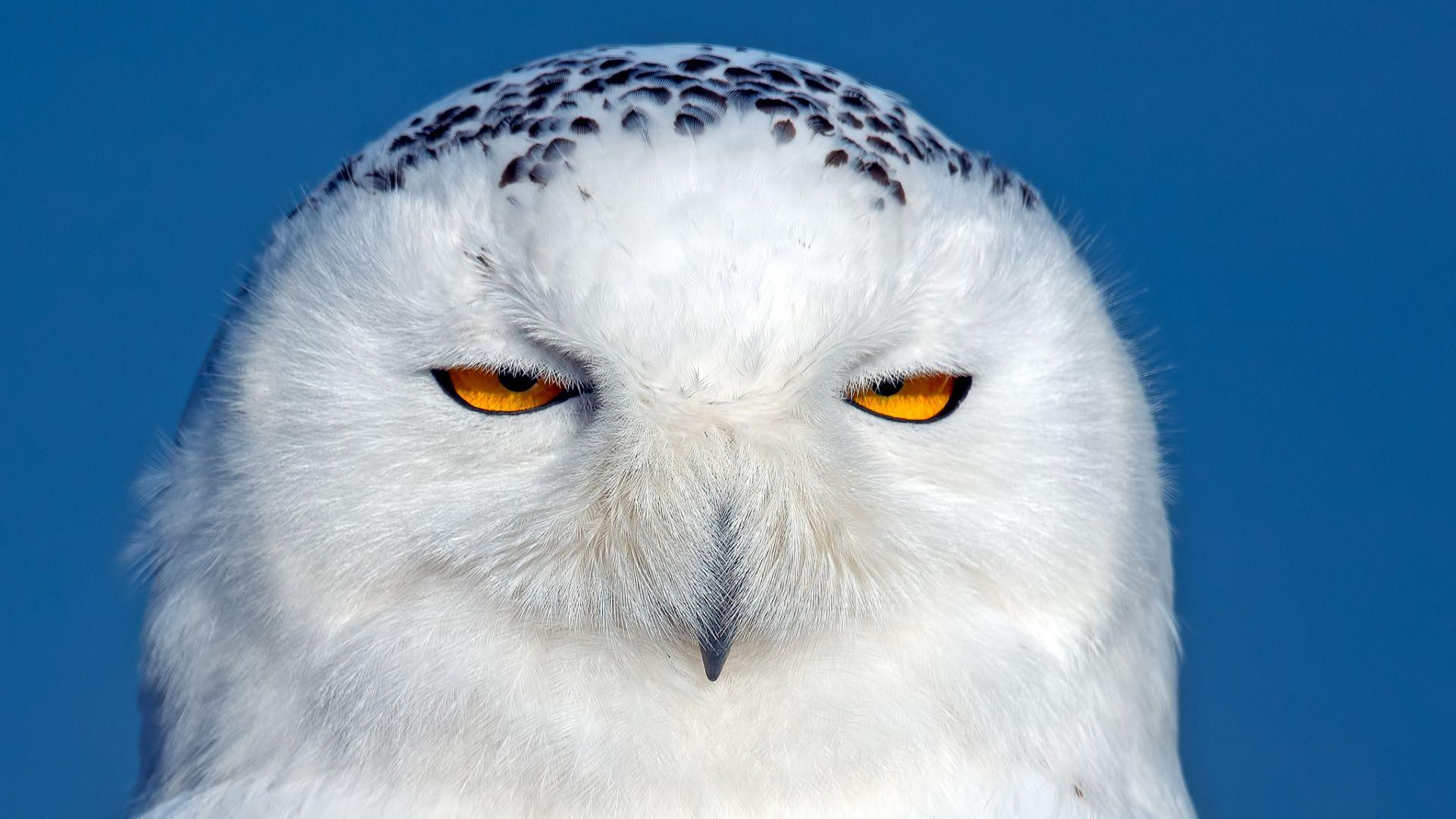 Download Wallpaper 1920x1080 owl, snowy owl, bird, predator, eyes ...