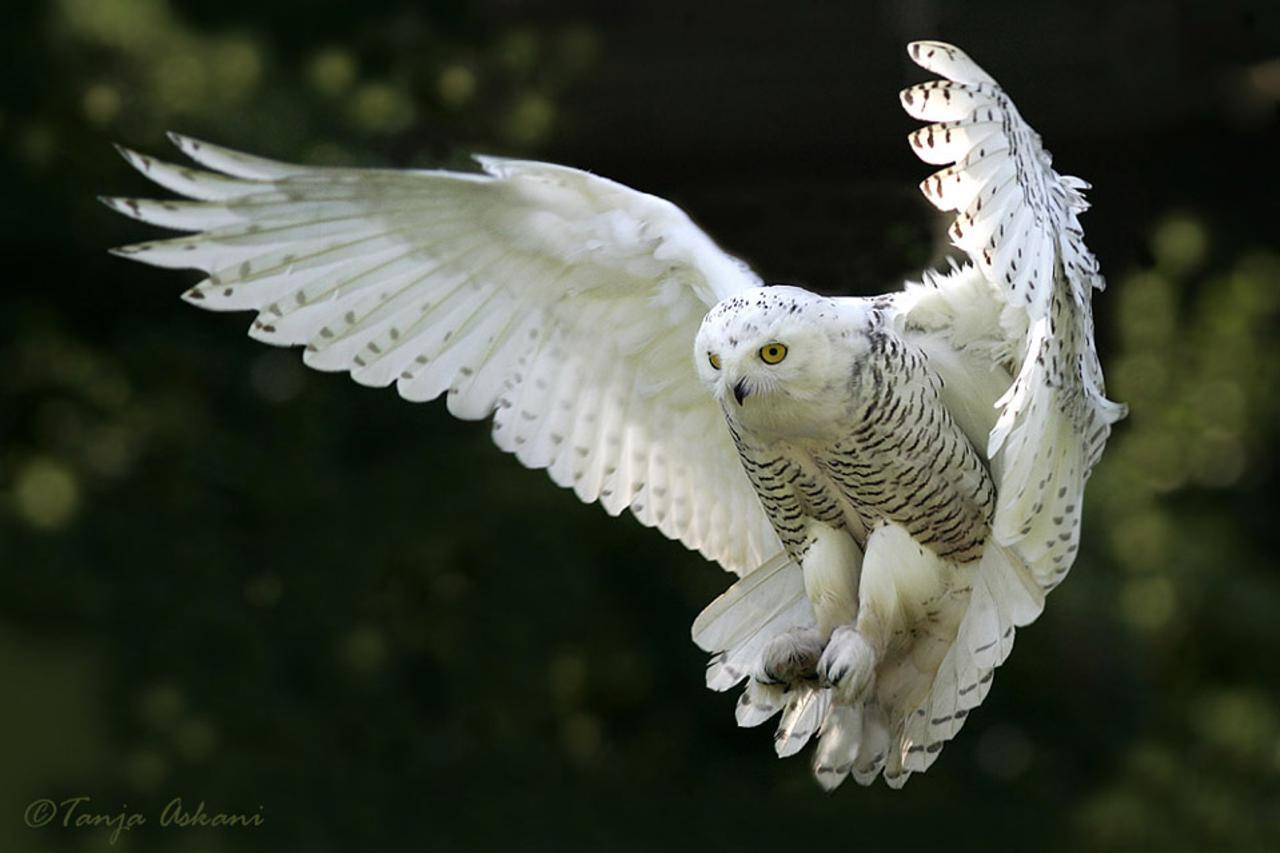 Lemmings fuel biggest snowy-owl migration in 50 years – Focusing ...