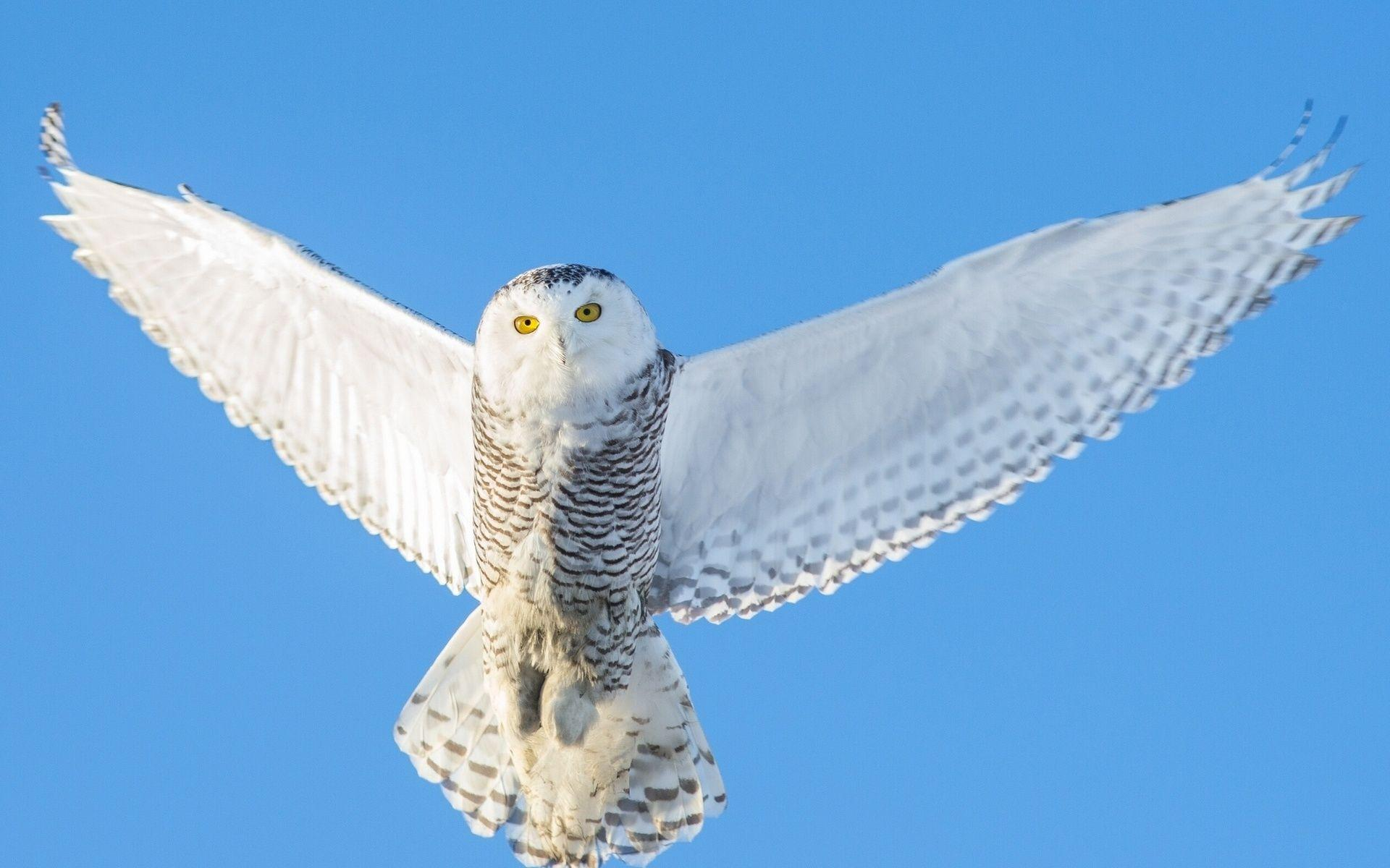 Snowy Owl Wallpaper | Wallpapers9