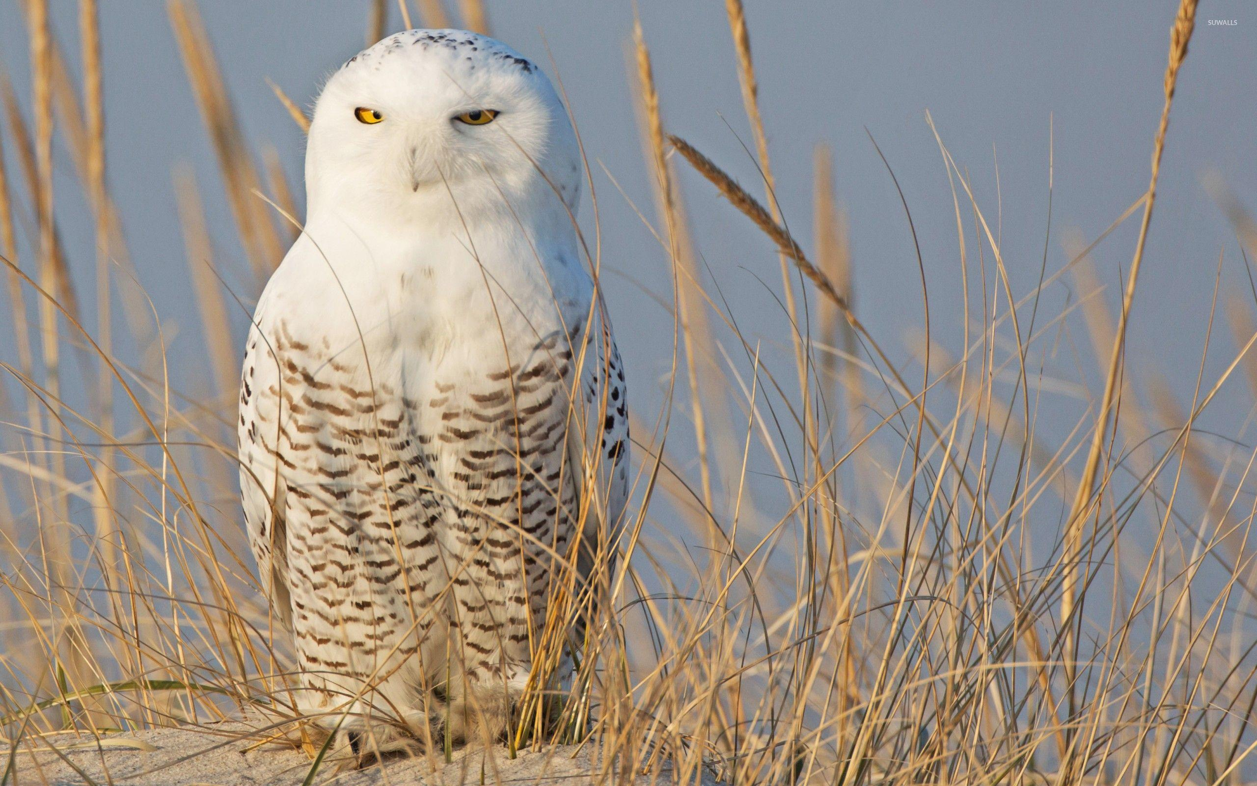 Snowy Owl [7] wallpaper - Animal wallpapers - #44255