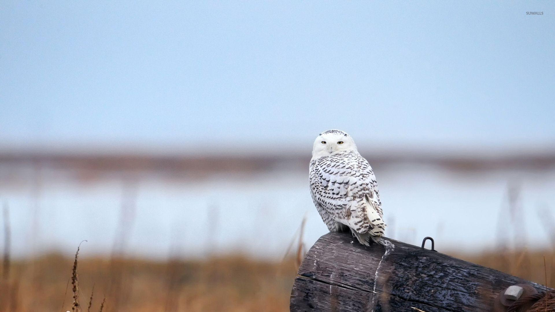 Snowy Owl [9] wallpaper - Animal wallpapers - #42054