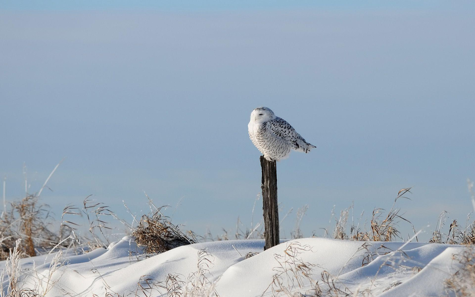 Snowy Owl Full HD Wallpaper and Background | 1920x1200 | ID:412590