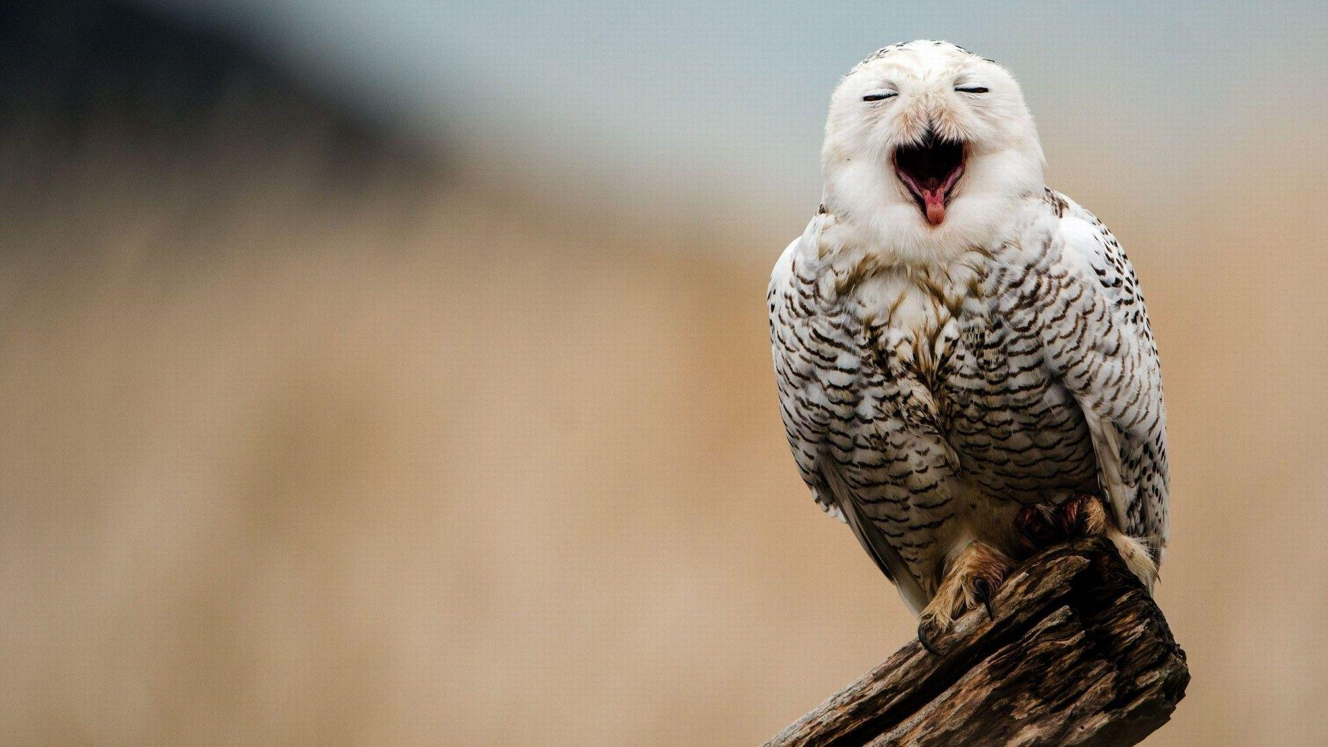 HD Snowy Owl Wallpaper | Cool Owls