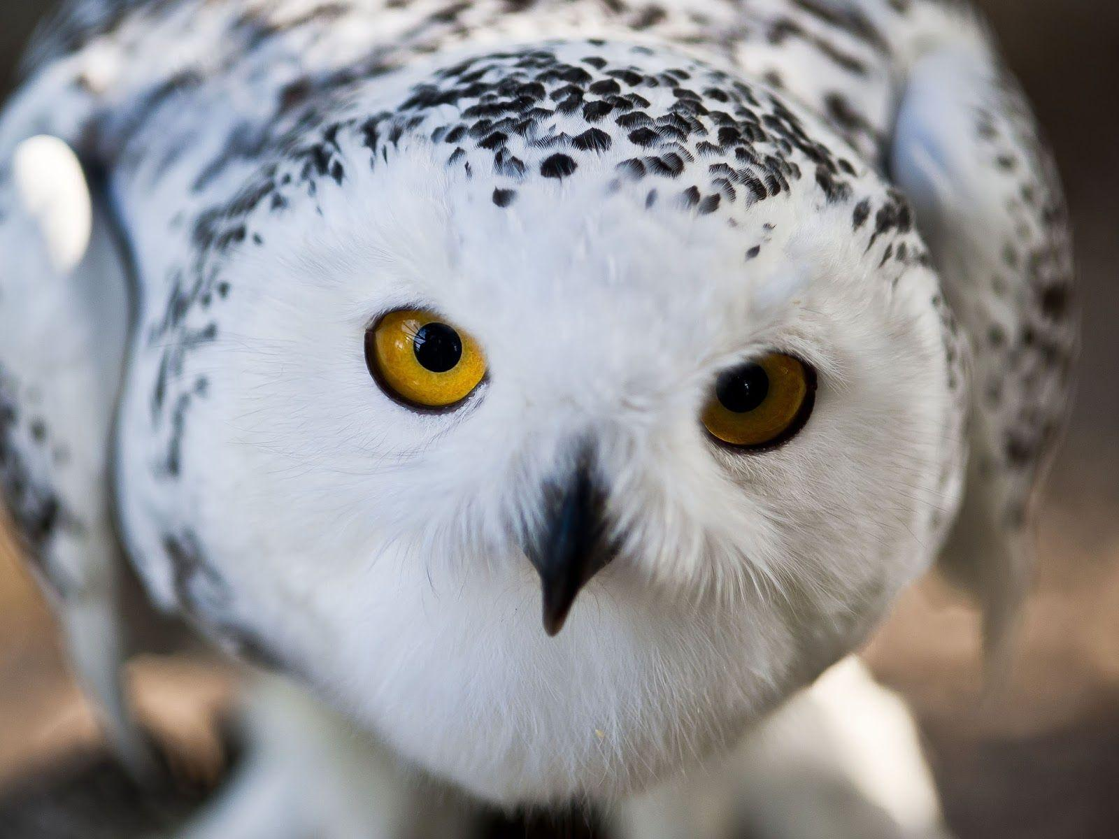 Snowy Owl HQ Background Wallpaper 20434 - Baltana