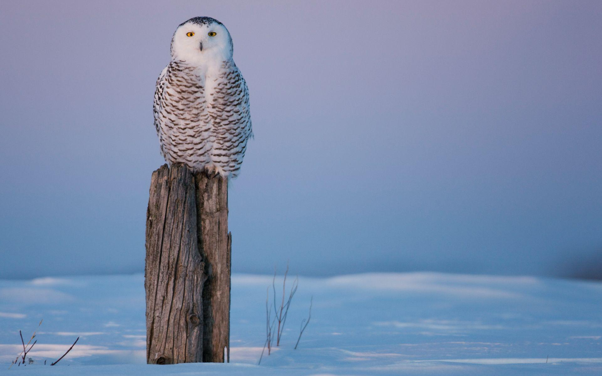 Snowy Owl Full HD Wallpaper and Background | 1920x1200 | ID:102748