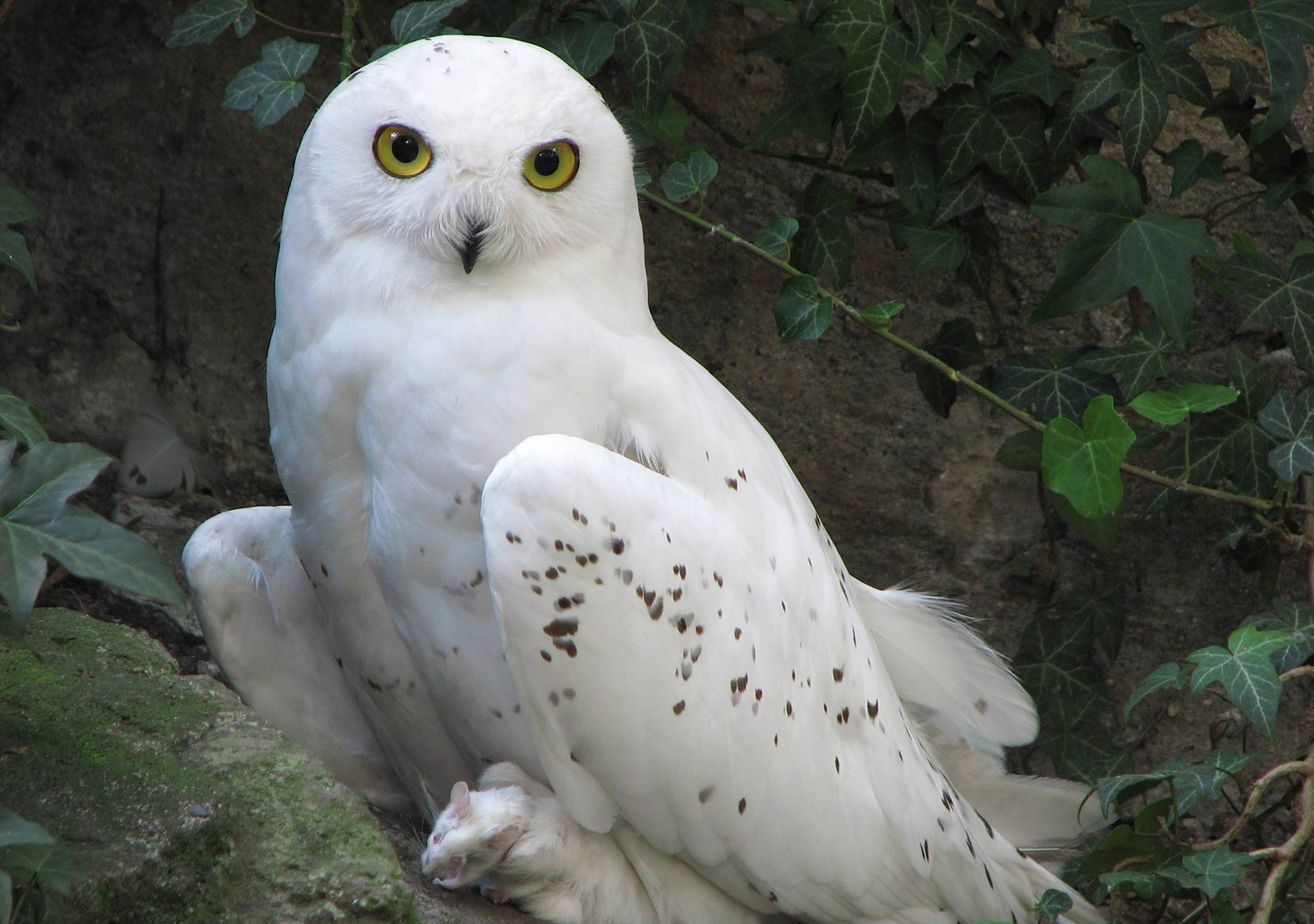 Free Snowy Owl Wallpaper download - Animals Town