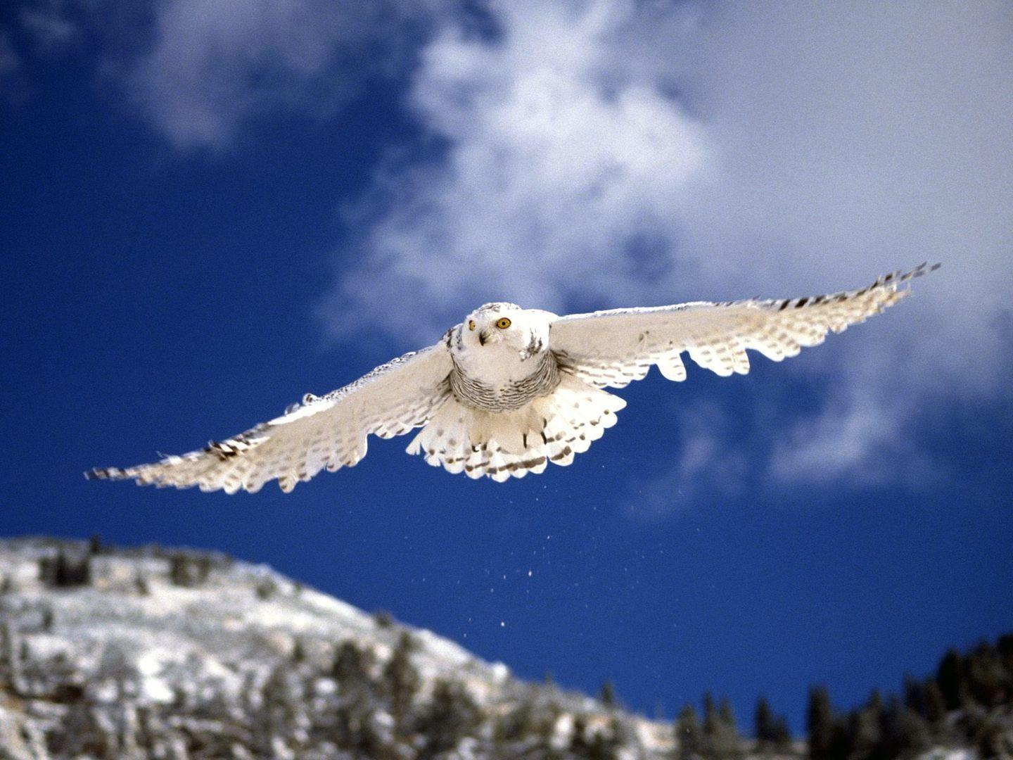 snowy owl Wallpaper HD Wallpaper | WALLPAPERS | Pinterest | Owl ...