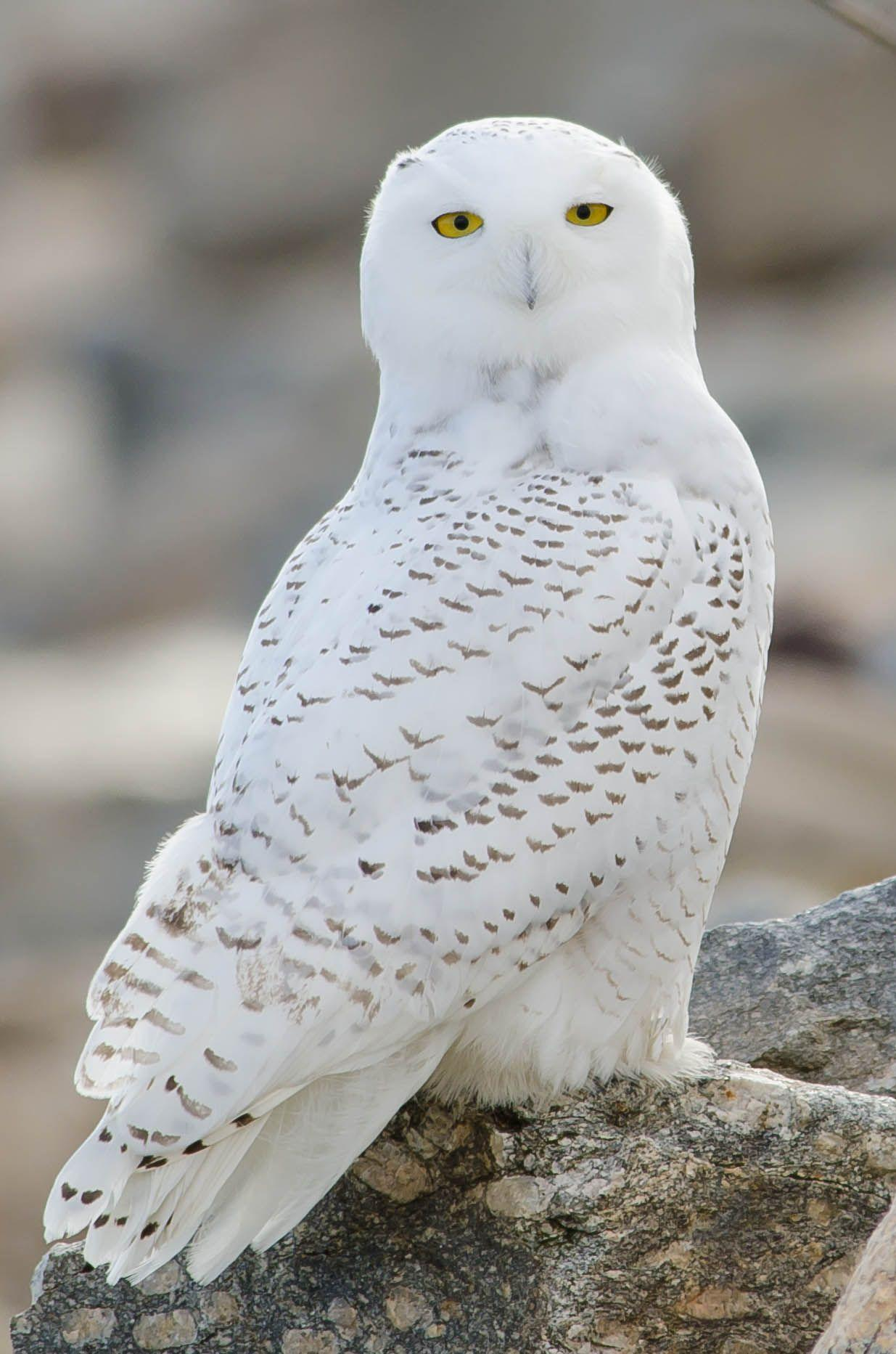 Snowy Owl Wallpaper for PC | Full HD Pictures