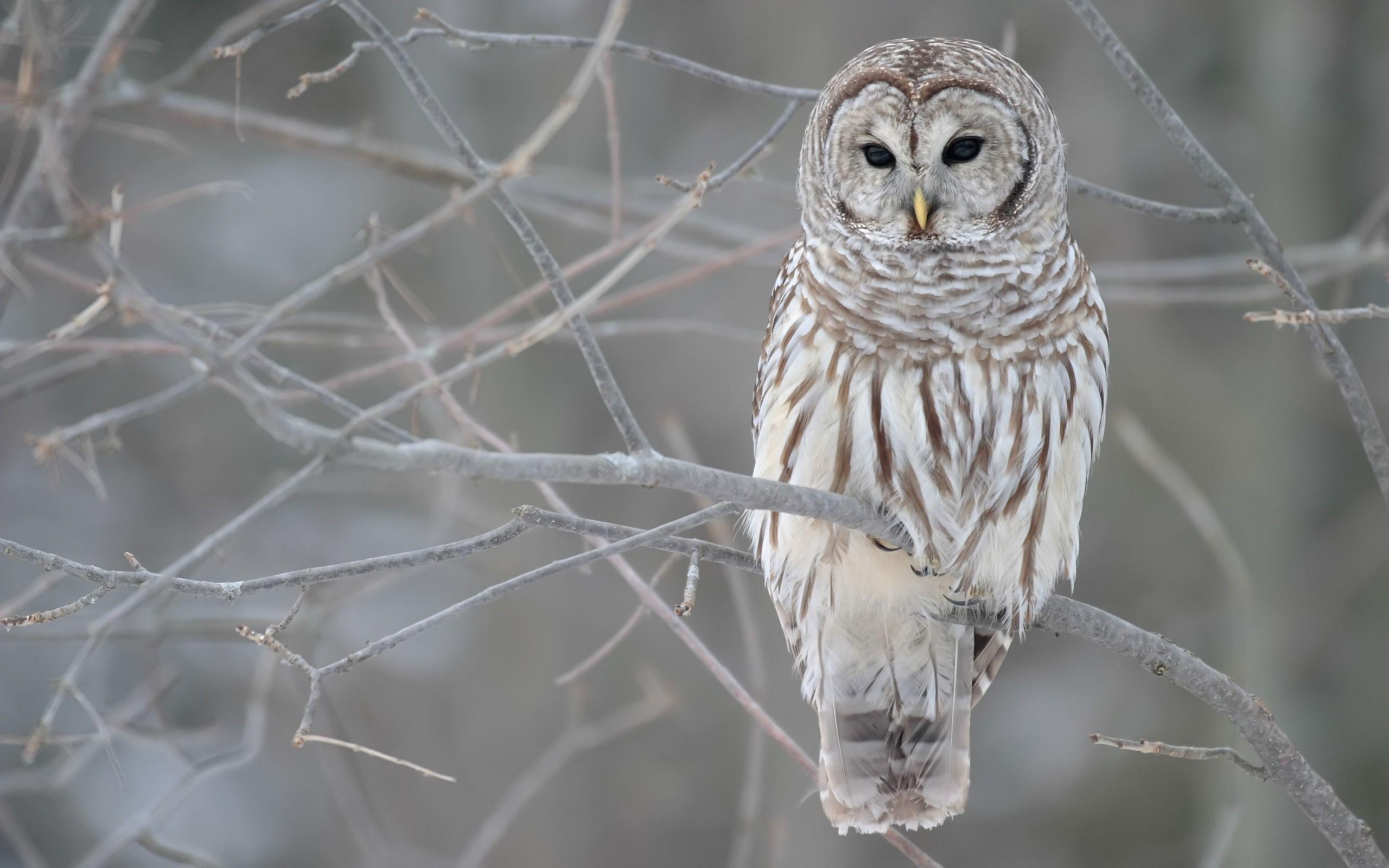 Snowy owl wallpaper birds animals wallpapers for free download ...
