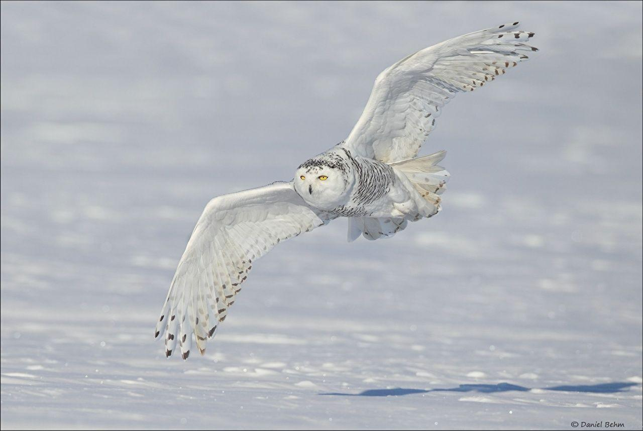 Owls Birds Wings snowy owl Snow Flight Animals