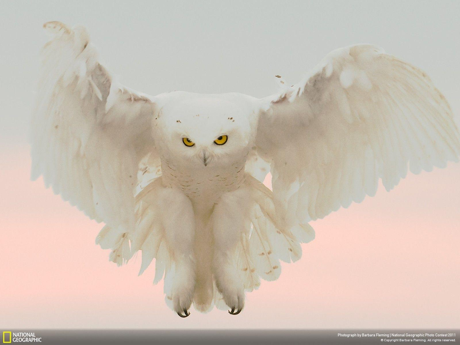 Owl HD Wallpapers Desktop Pictures One HD Wallpaper Pictures | HD ...