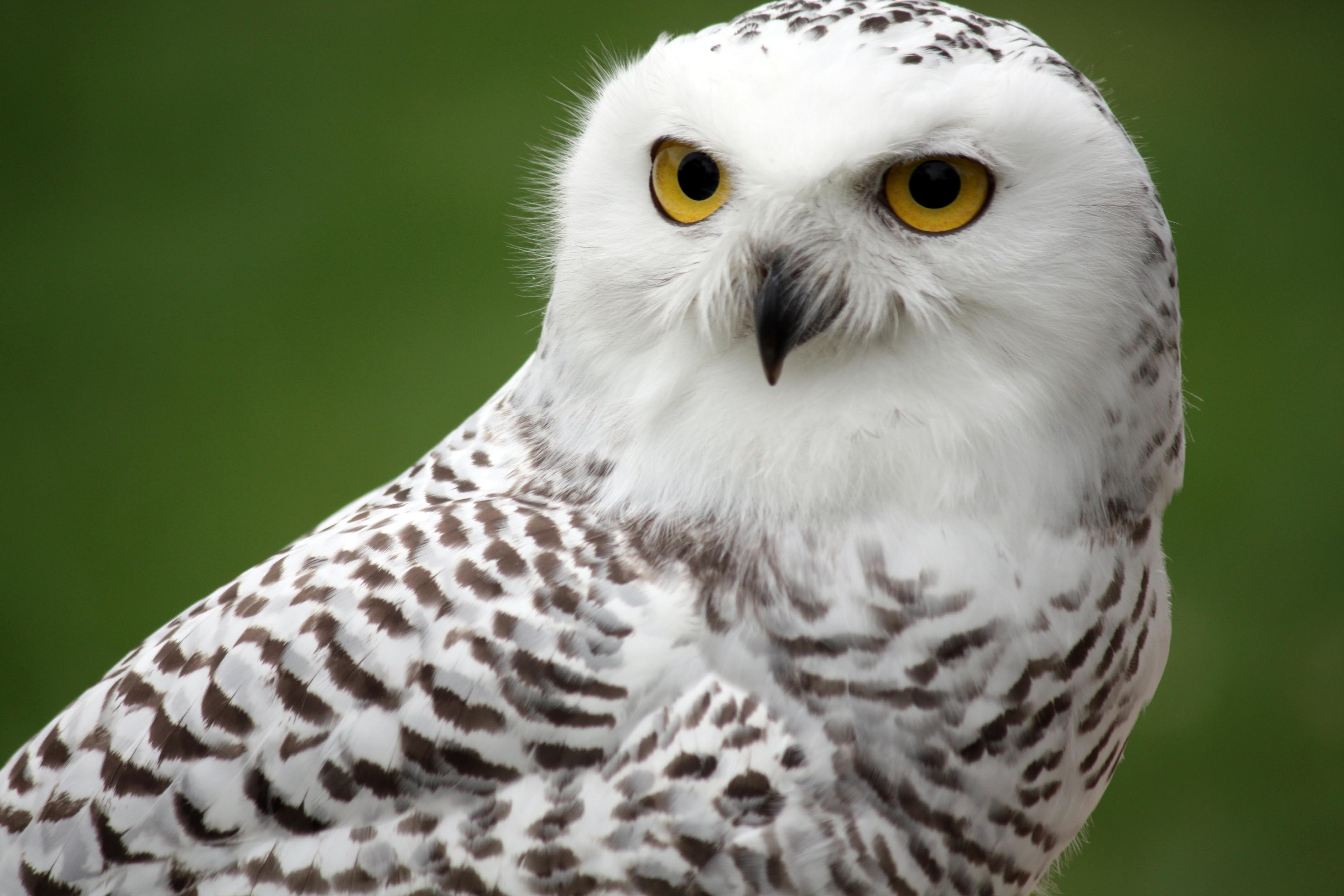 4272x2848px » Snowy Owl Wallpapers