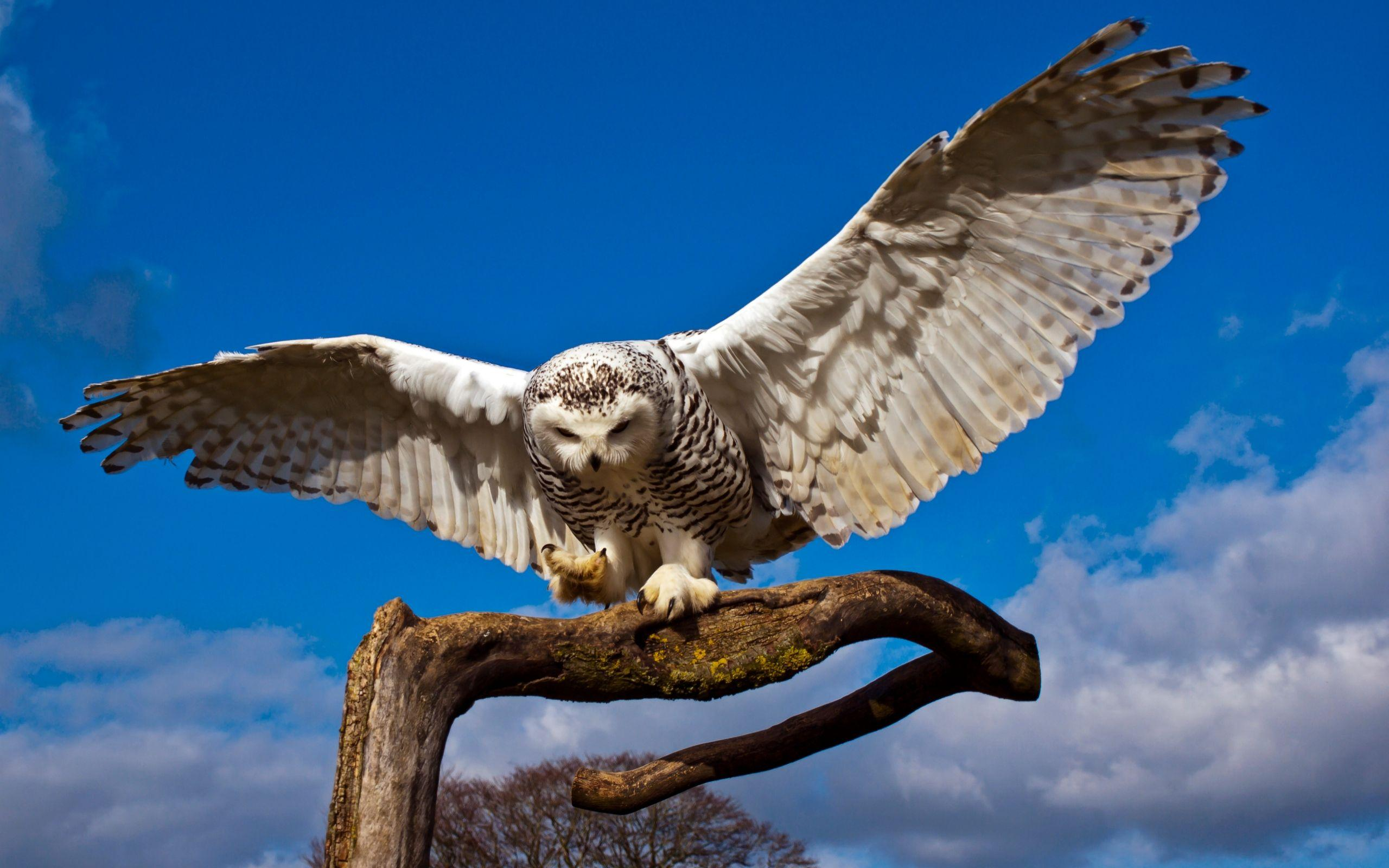 Snowy Owl Spread Wings Desktop Background HD 2560x1600 | deskbg.com