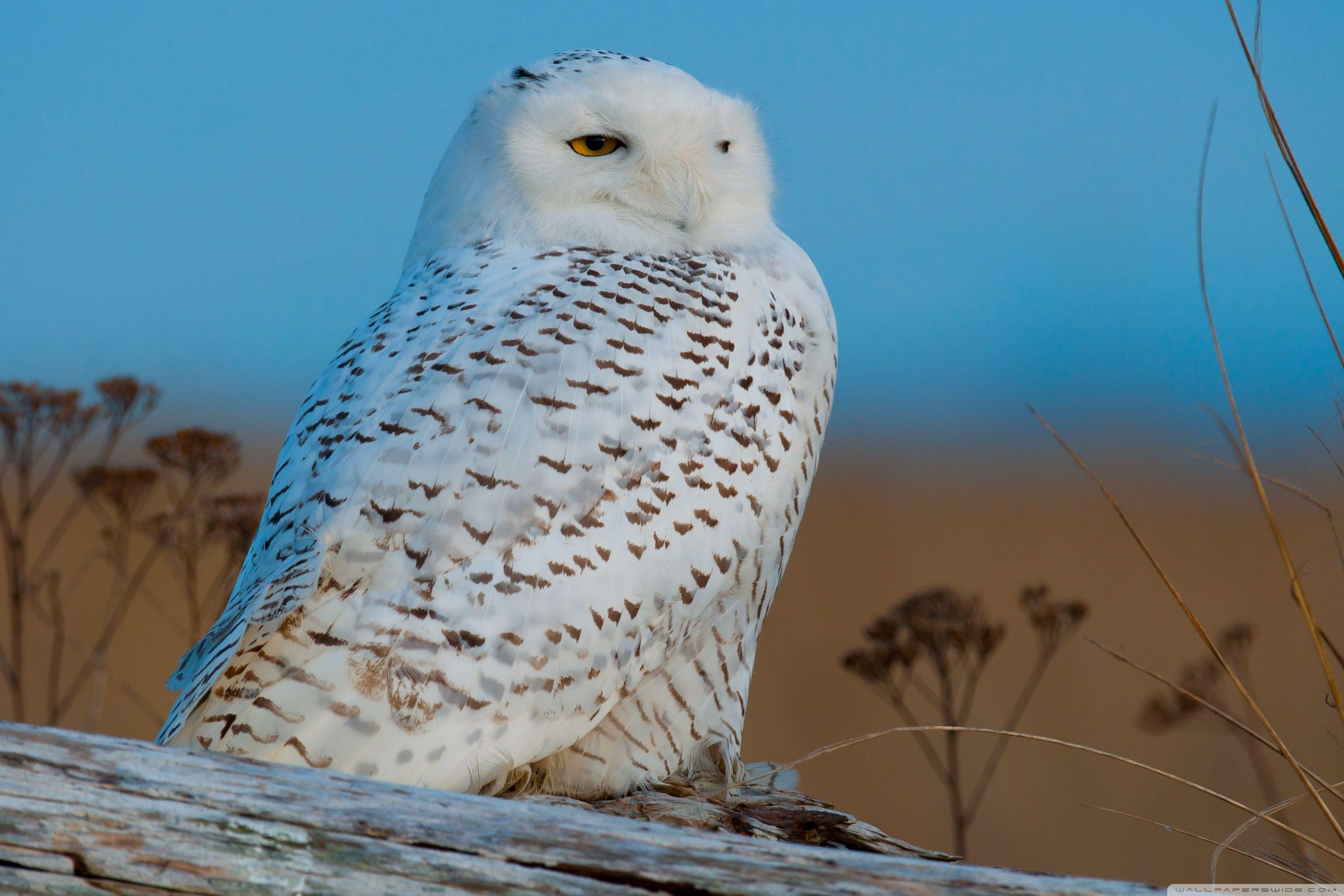 Snowy Owl ❤ 4K HD Desktop Wallpaper for 4K Ultra HD TV • Wide ...