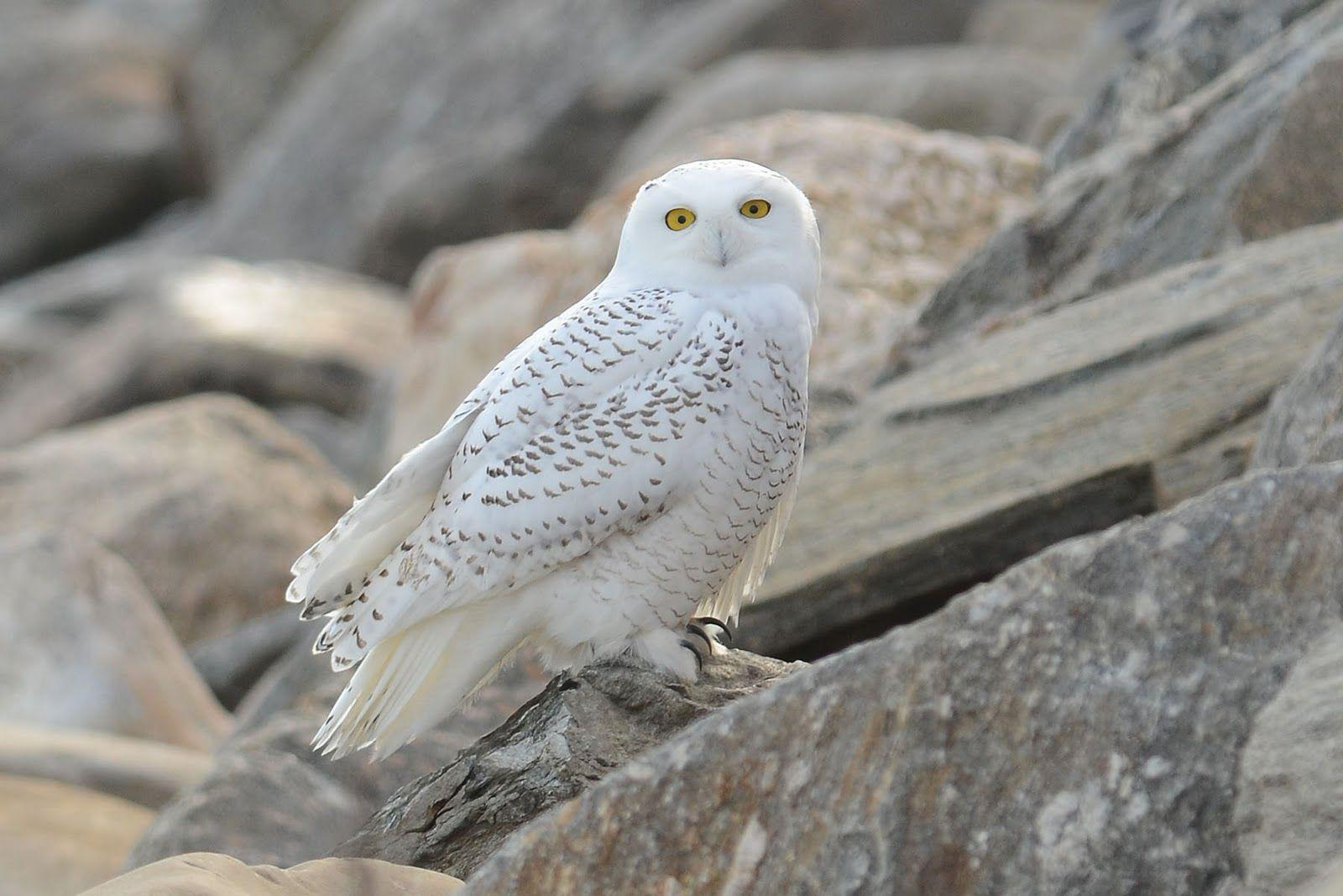 Connecticut Audubon Society: Snowy Owl at Stratford Point