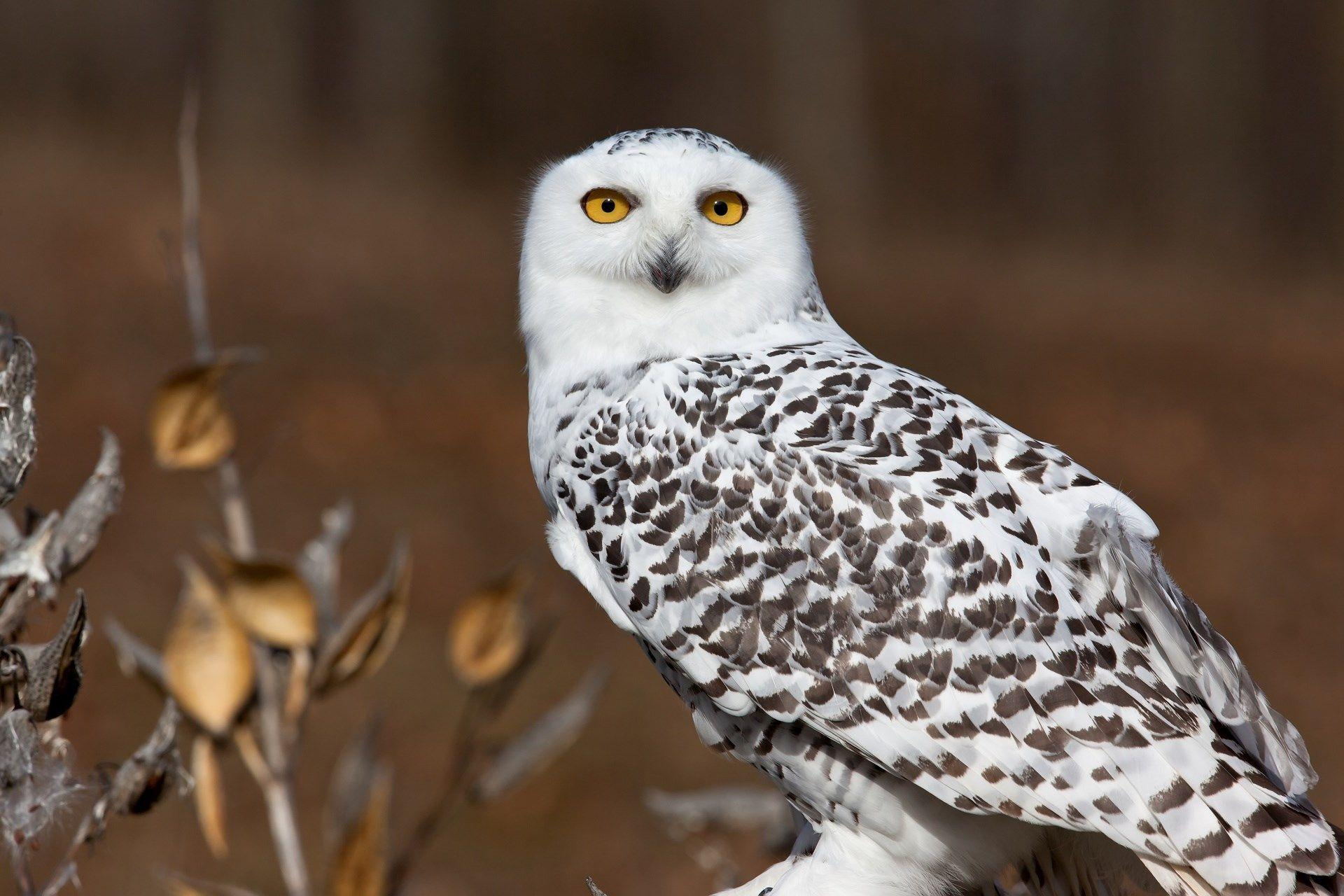 Brooks Stevenson - snowy owl wallpapers 1080p high quality ...