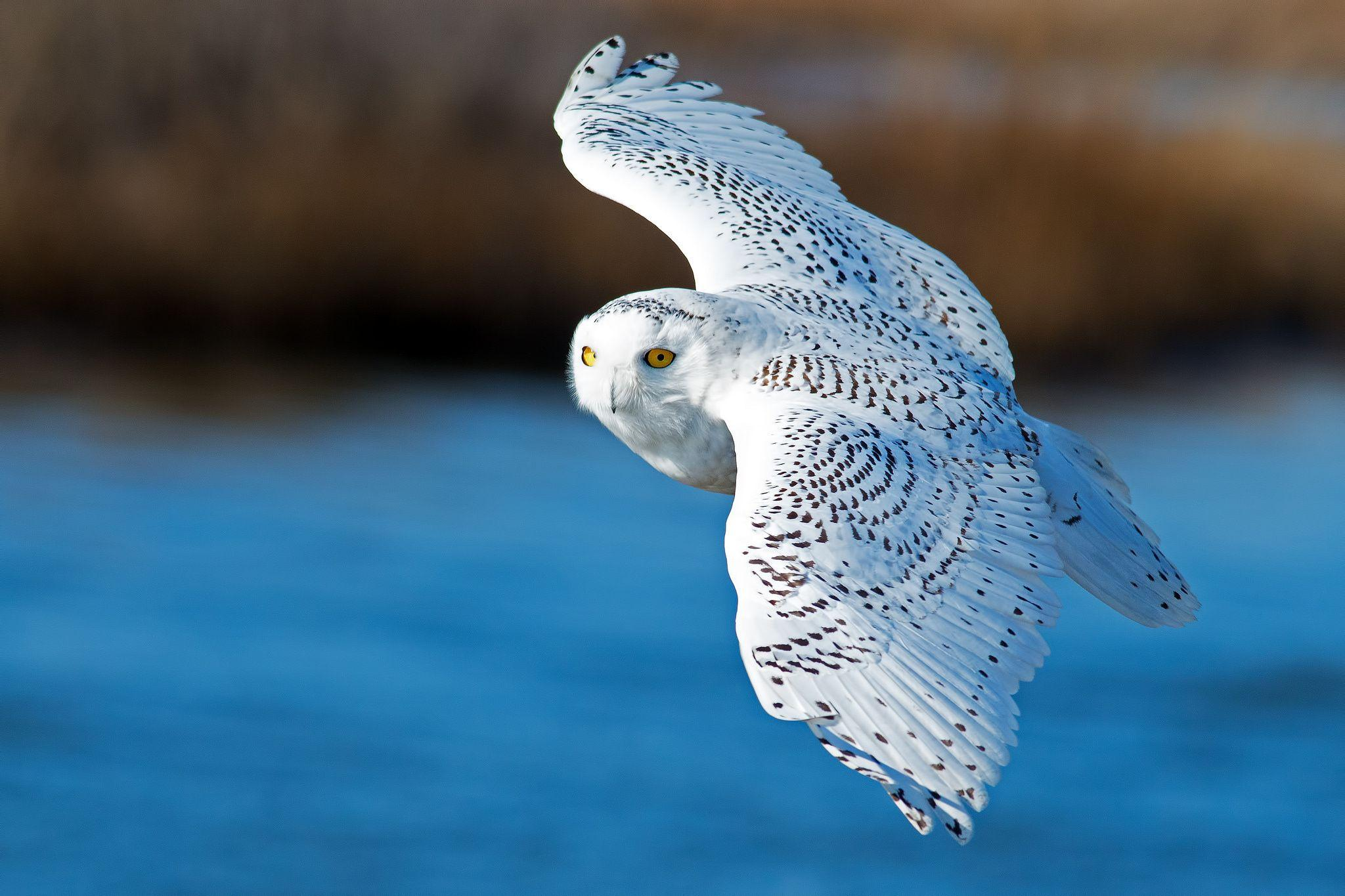 9823 wings, White owl, flying, bird, snowy owl Wallpapers download ...