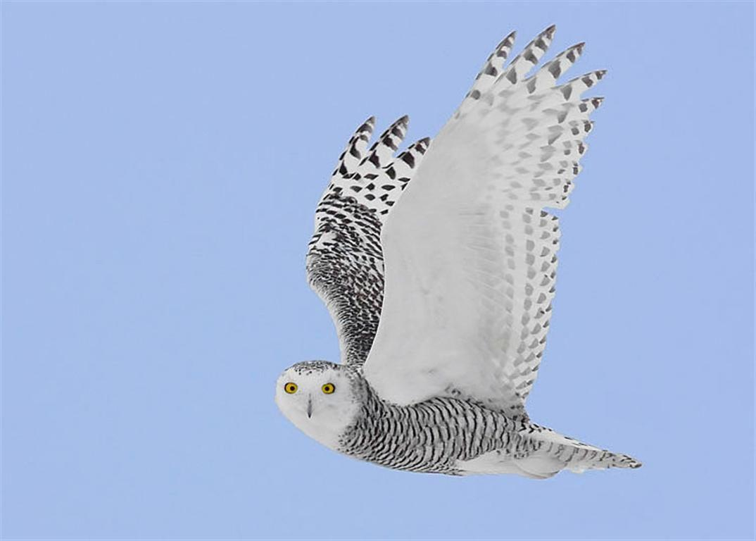 Snowy Owl sighting in downtown Peterborough – Our Changing Seasons
