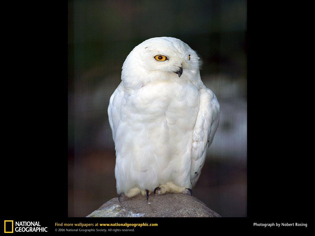 Snowy Owl Picture, Snowy Owl Desktop Wallpaper, Free Wallpapers ...